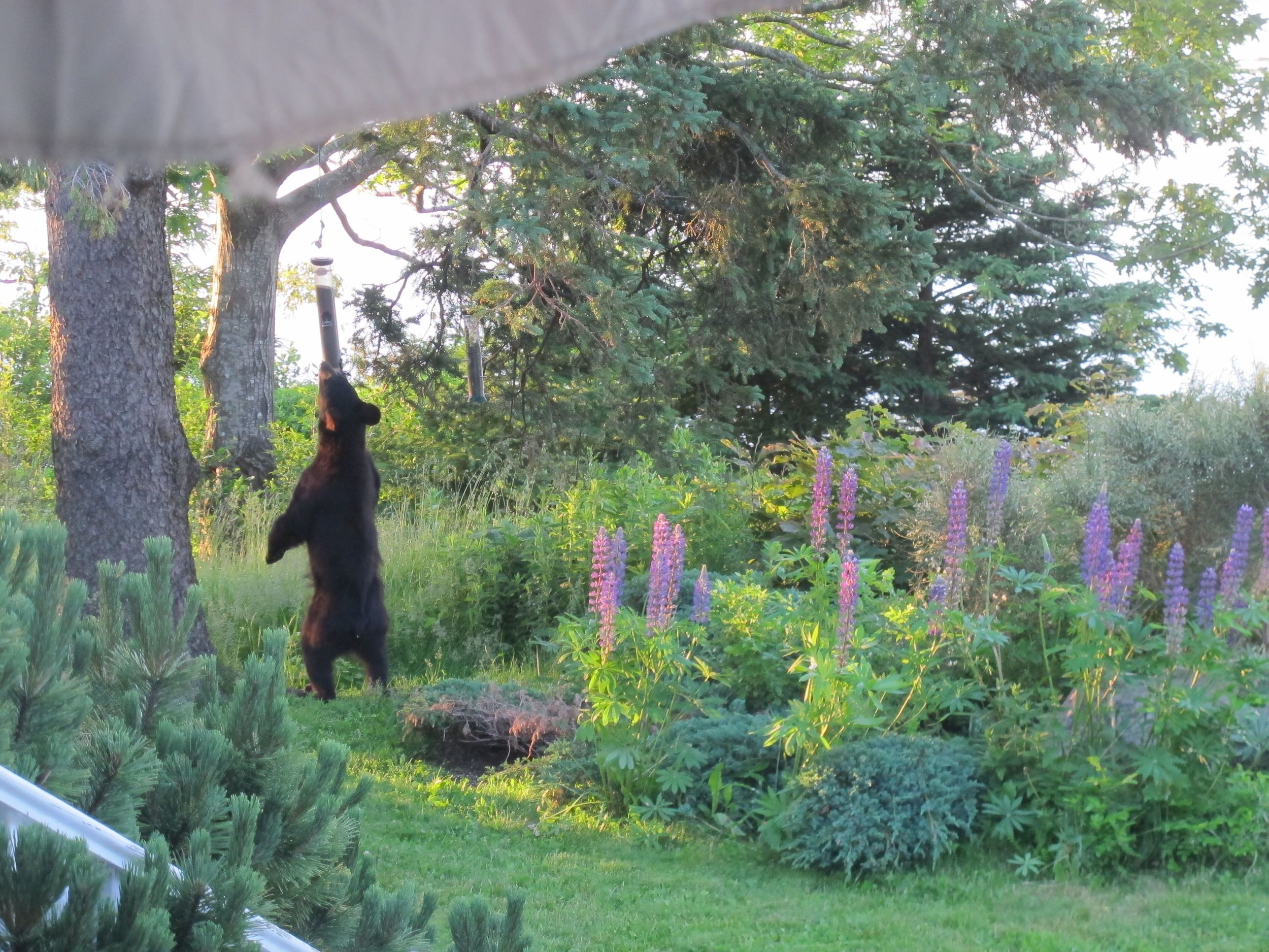 Two black bears visited our house in in June and made short work of our bird seed.
