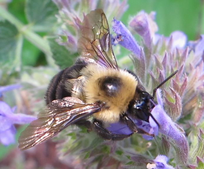 A little pollination action in late July in the garden in front of the Bar Harbor Notebook location we opened on Aug. 1.