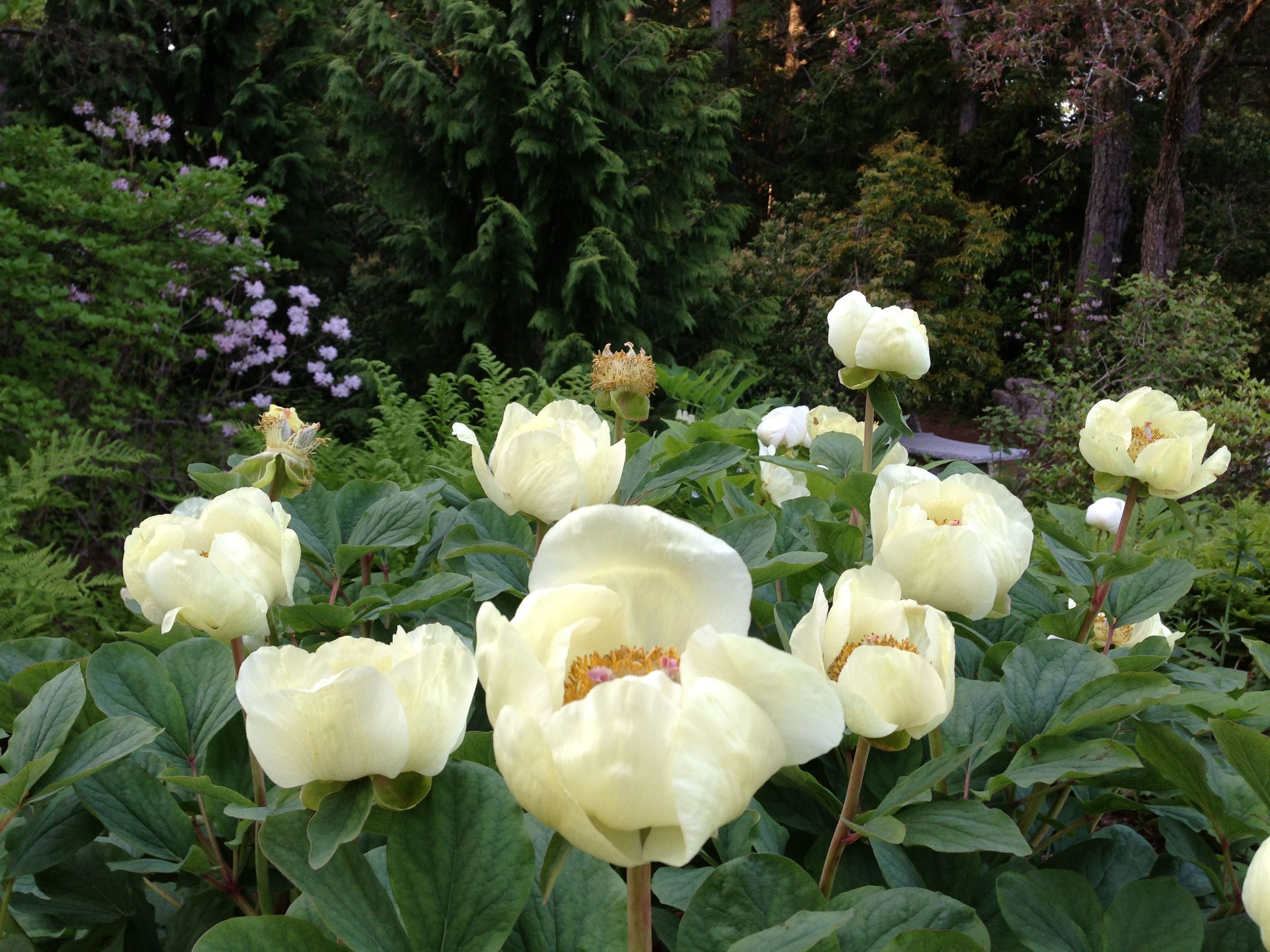 One parting shot from the Asticou garden, of peonies at their peak.
