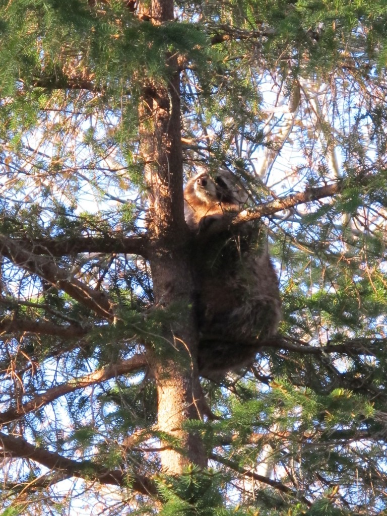 This raccoon tried hiding, totally still, about 20 feet up a tree when he saw us leaving our house.