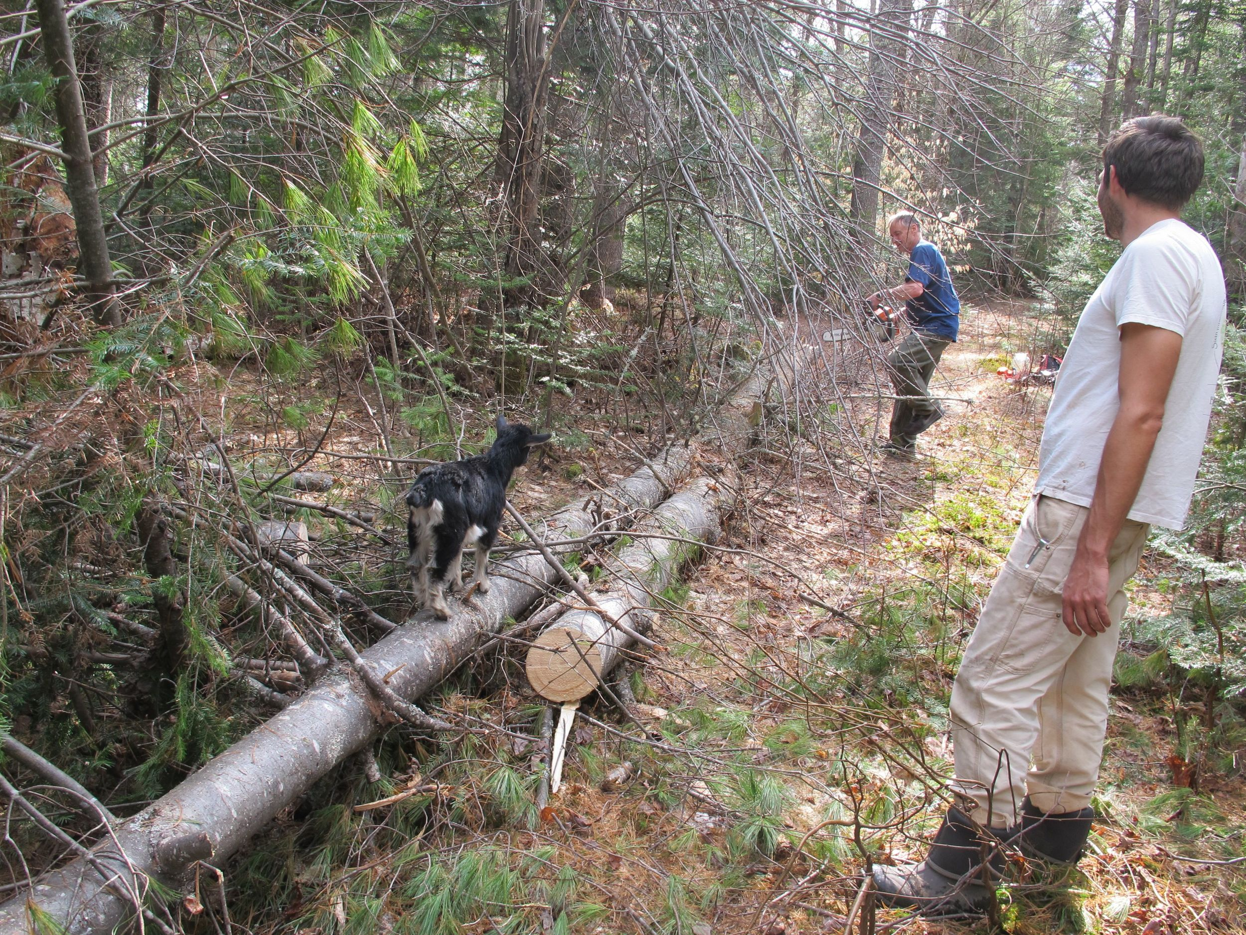 Marcelene was steady afoot as she watched Bernd cut up a downed white pine that was blocking a roadway into the woods.