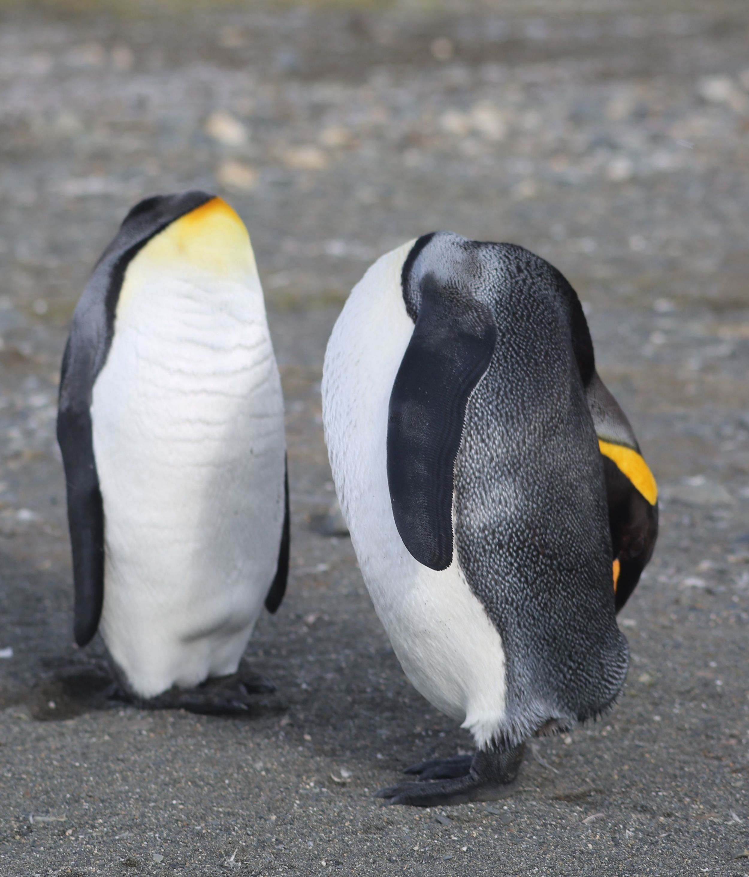 No, these seemingly headless king penguins aren't the two of US, but they're among the many unforgettable sights that we would see in our voyage to the deep, deep, deep South.  (Feel free to invent a funny caption.)