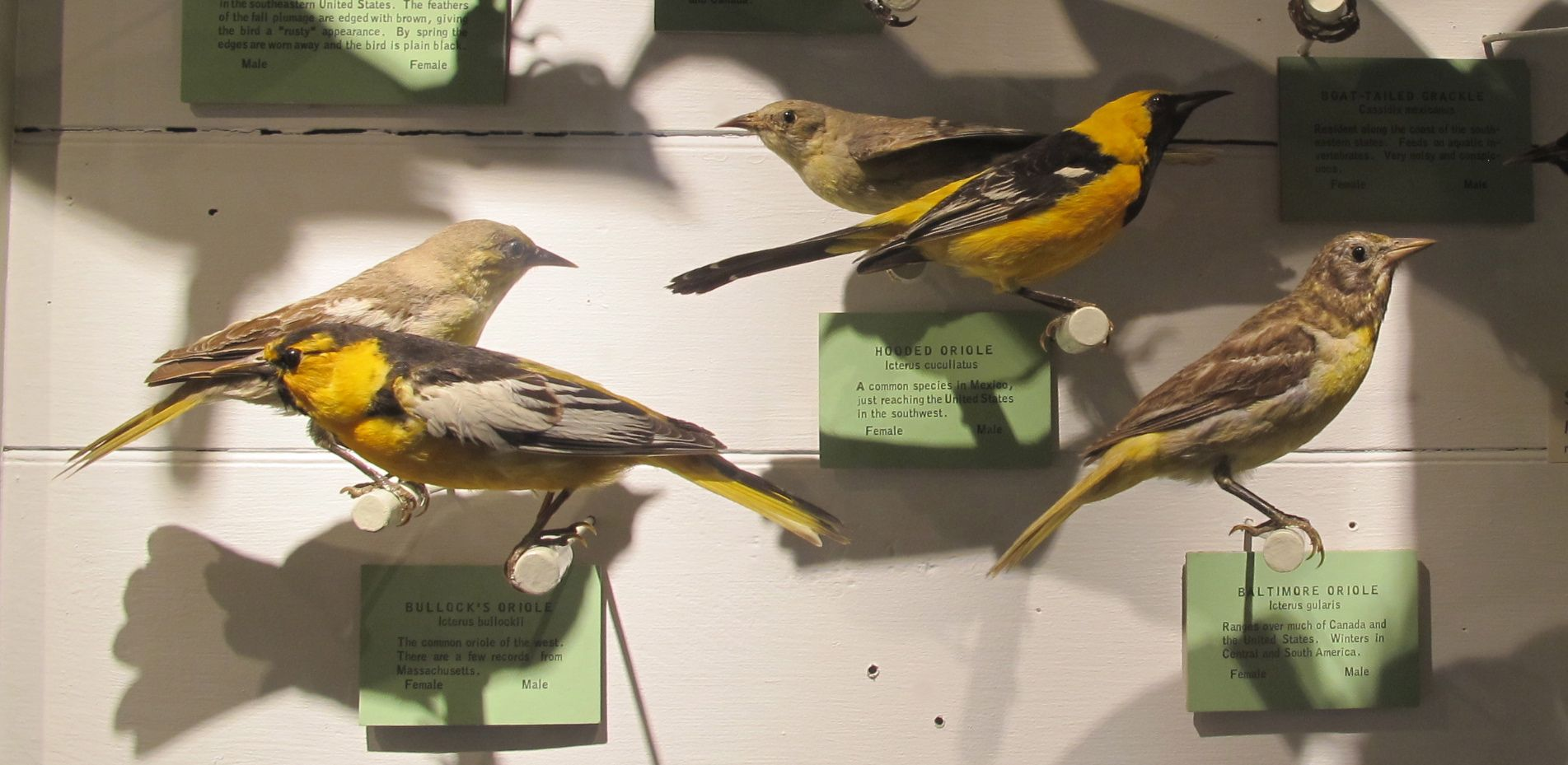 From one of the museum's bird-specimen cases, here are (from left) Bullock's, hooded and Baltimore orioles (the last one a bit faded from age).