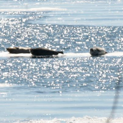 Seals sunning in front of our house.