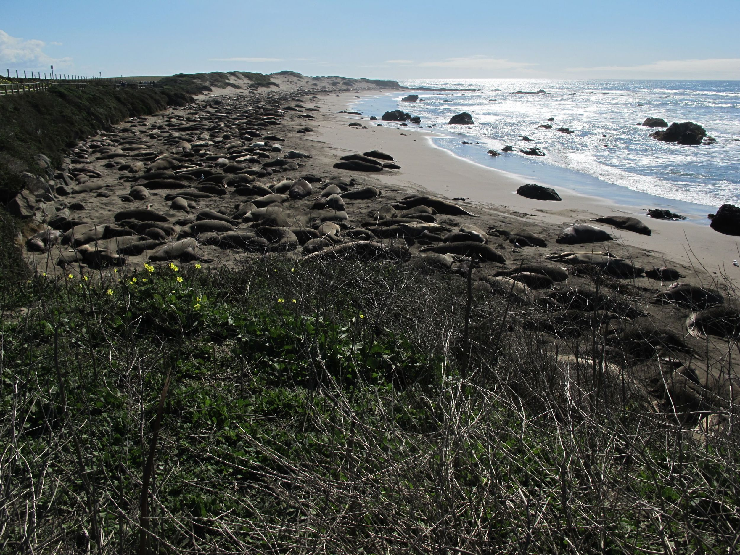 More than 1,000 elephant seals were sunning on the beach.
