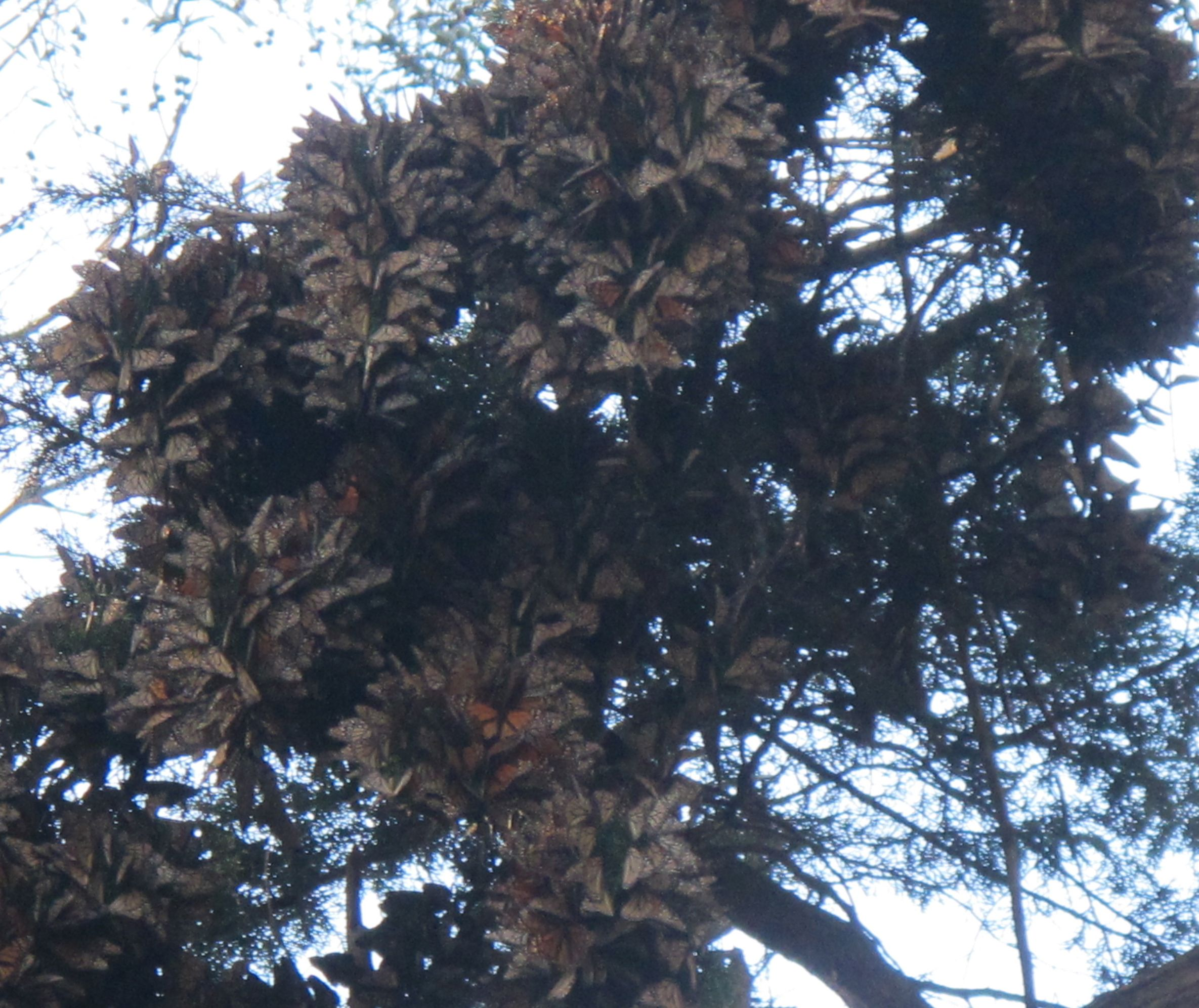 The monarchs packed the undersides of the high branches.