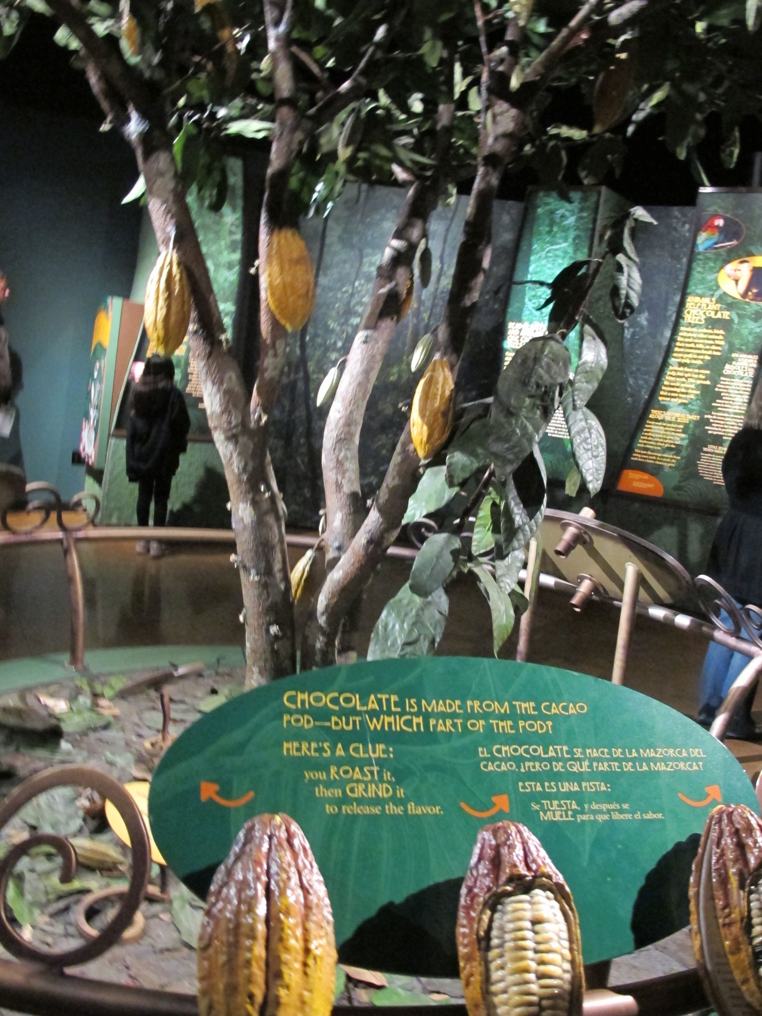This shows how cacao pods (the source of the seeds from which chocolate is made) grow on the tree.