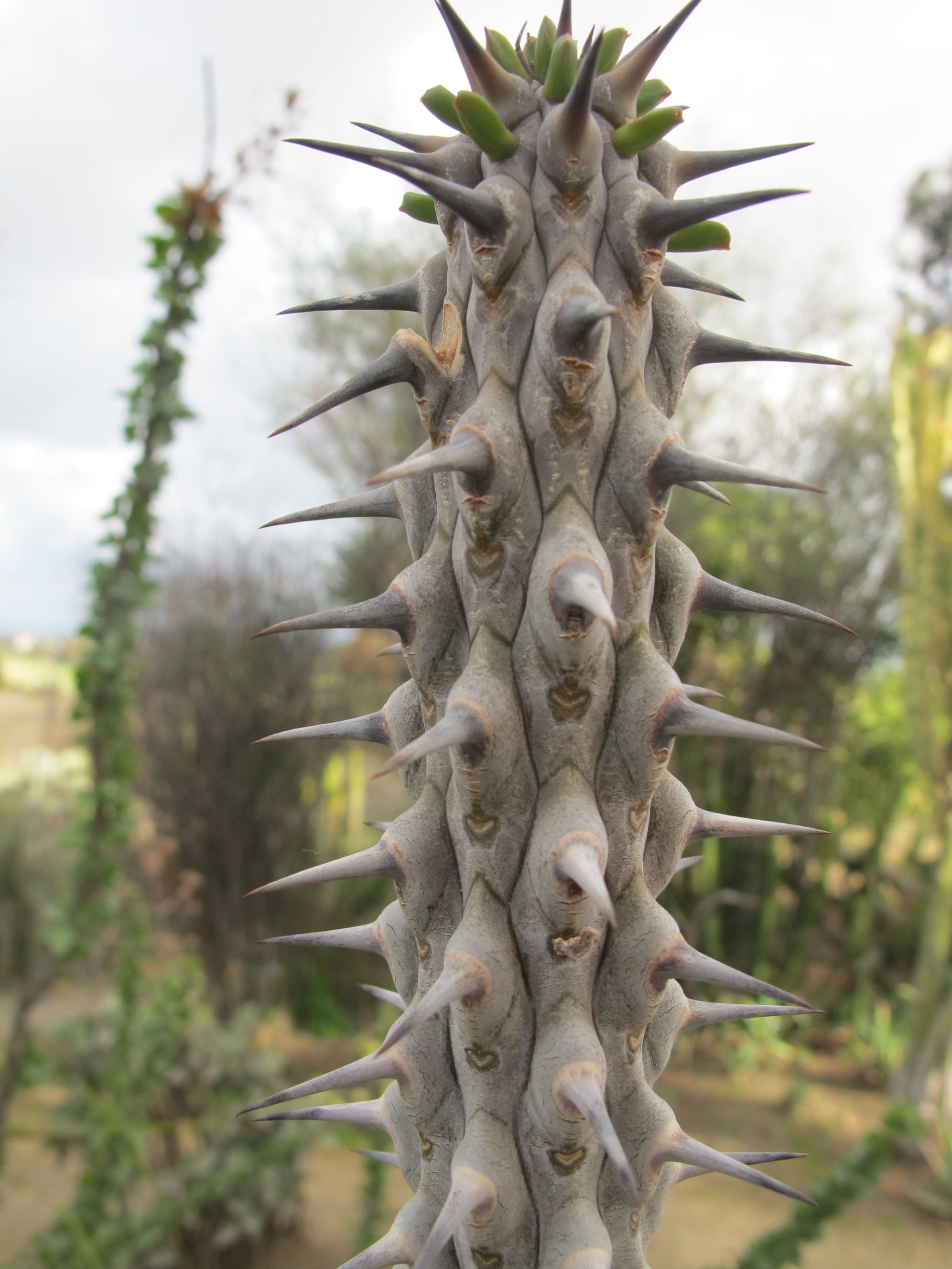 Any of you know what type of cactus this is? We saw it in the garden in Balboa Park.