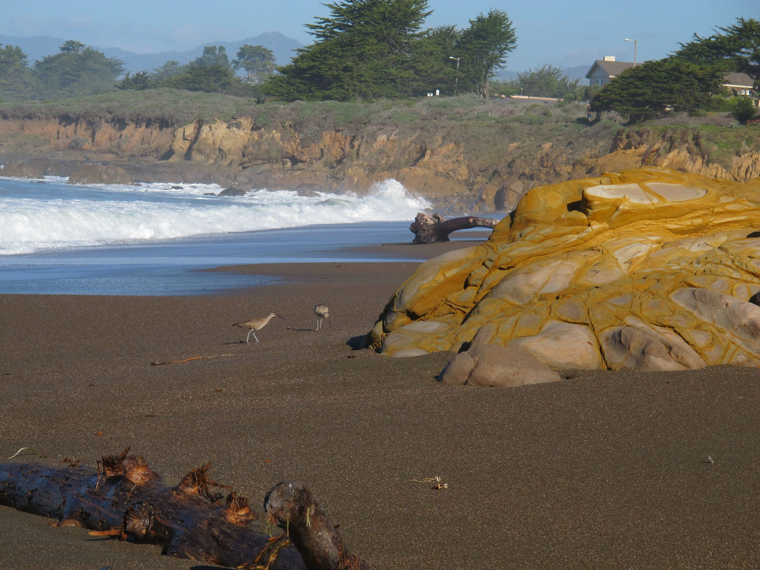 Two long-billed curlews scoured the beach in Cambria.