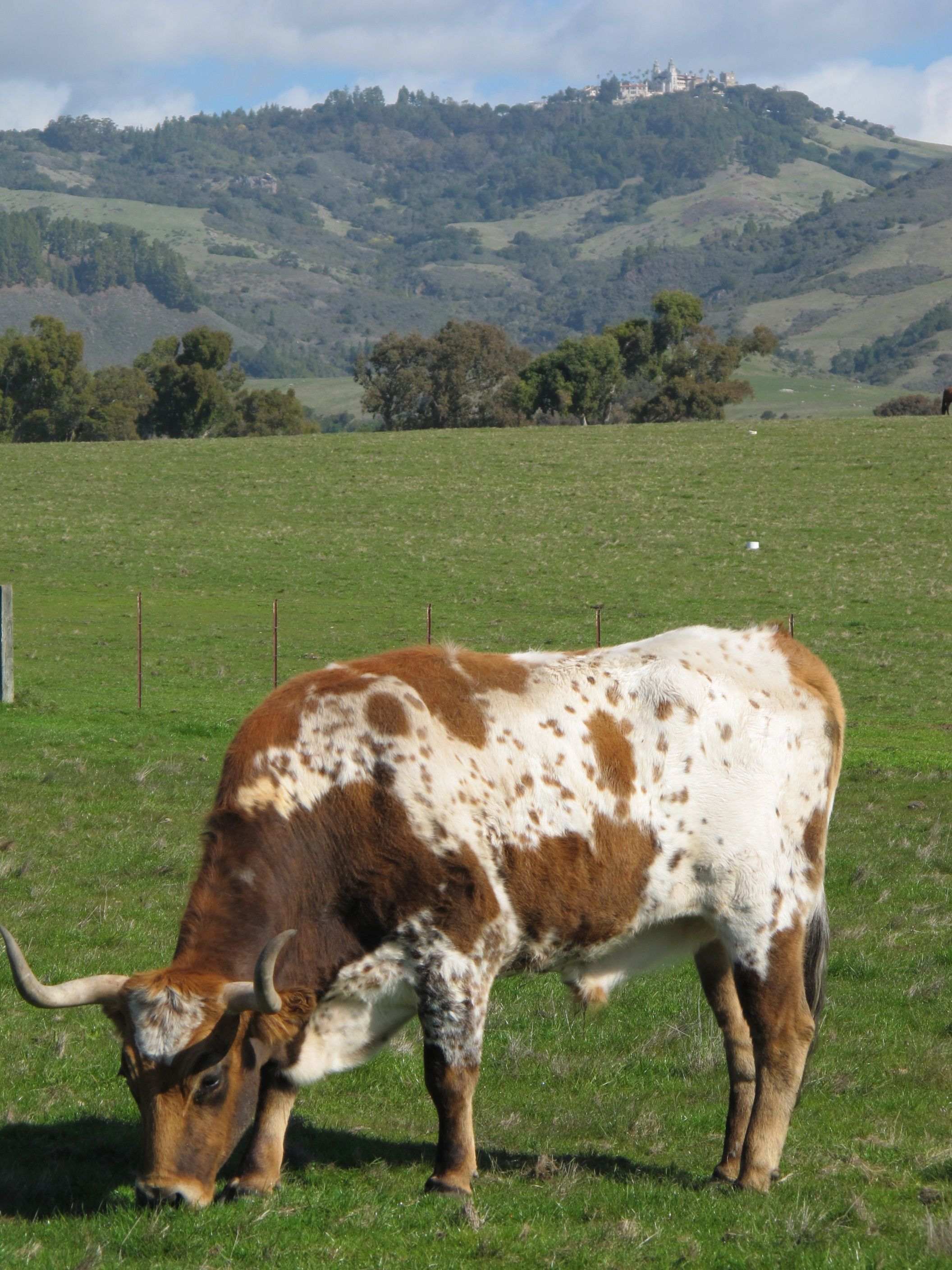Hearst ranch cattle in front of Hearst Castle (hilltop in back).