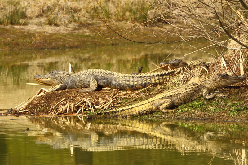 These are yellow alligators by a freshwater pond on Brays Island Plantation, a former rice, cotton and indigo plantation that is now an ecodevelopment. If you look closely at this shot by Dr. Tracy Wilkins, you'll spot three yellow-bellied slider turtles.