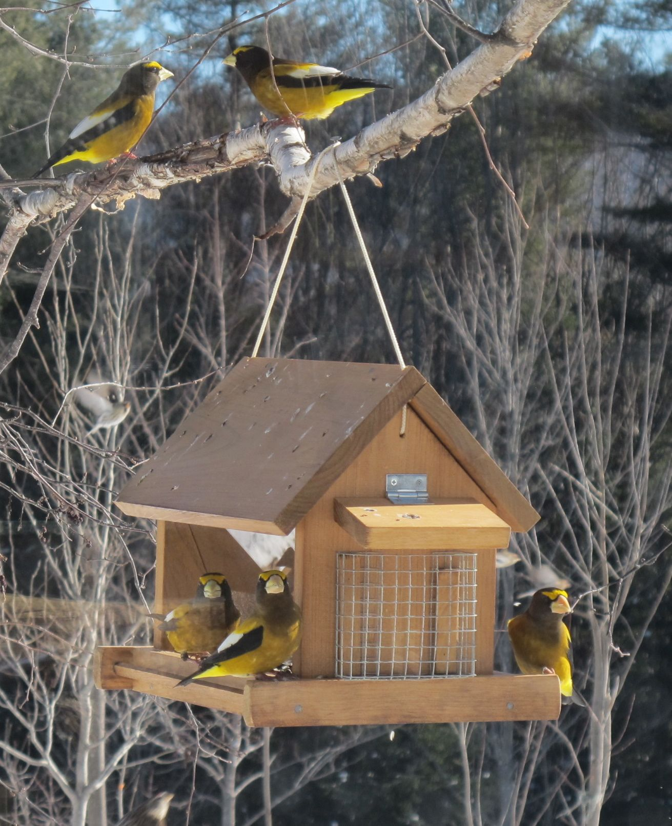 The evening grosbeaks were out in force (as were pine grosbeaks and redpolls) when we reached Bernd Heinrich's cabin.