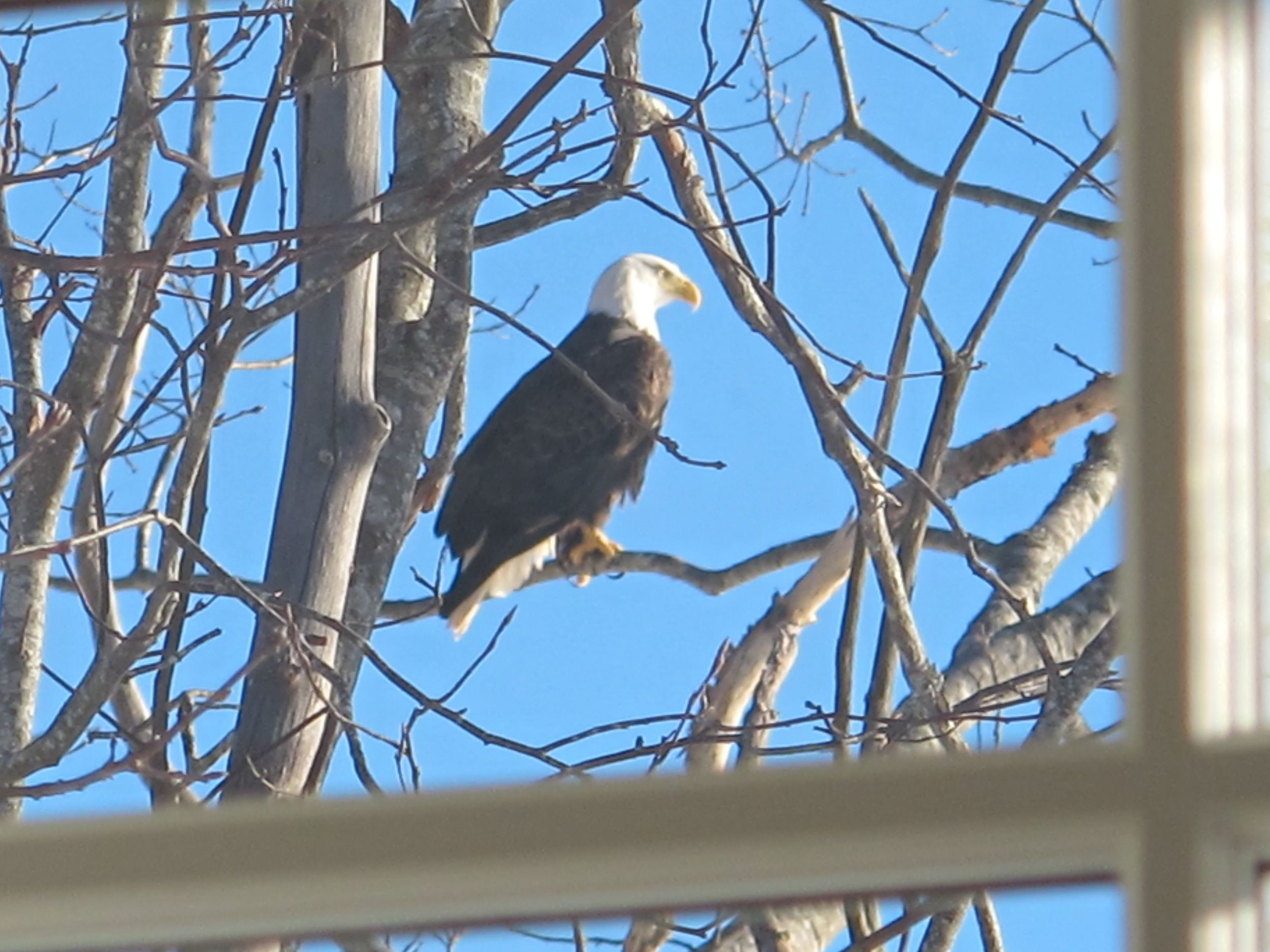 Two mature bald eagles have been flying around our house and perching in trees overlooking the water. They keep calling out to each other, as if strategizing.