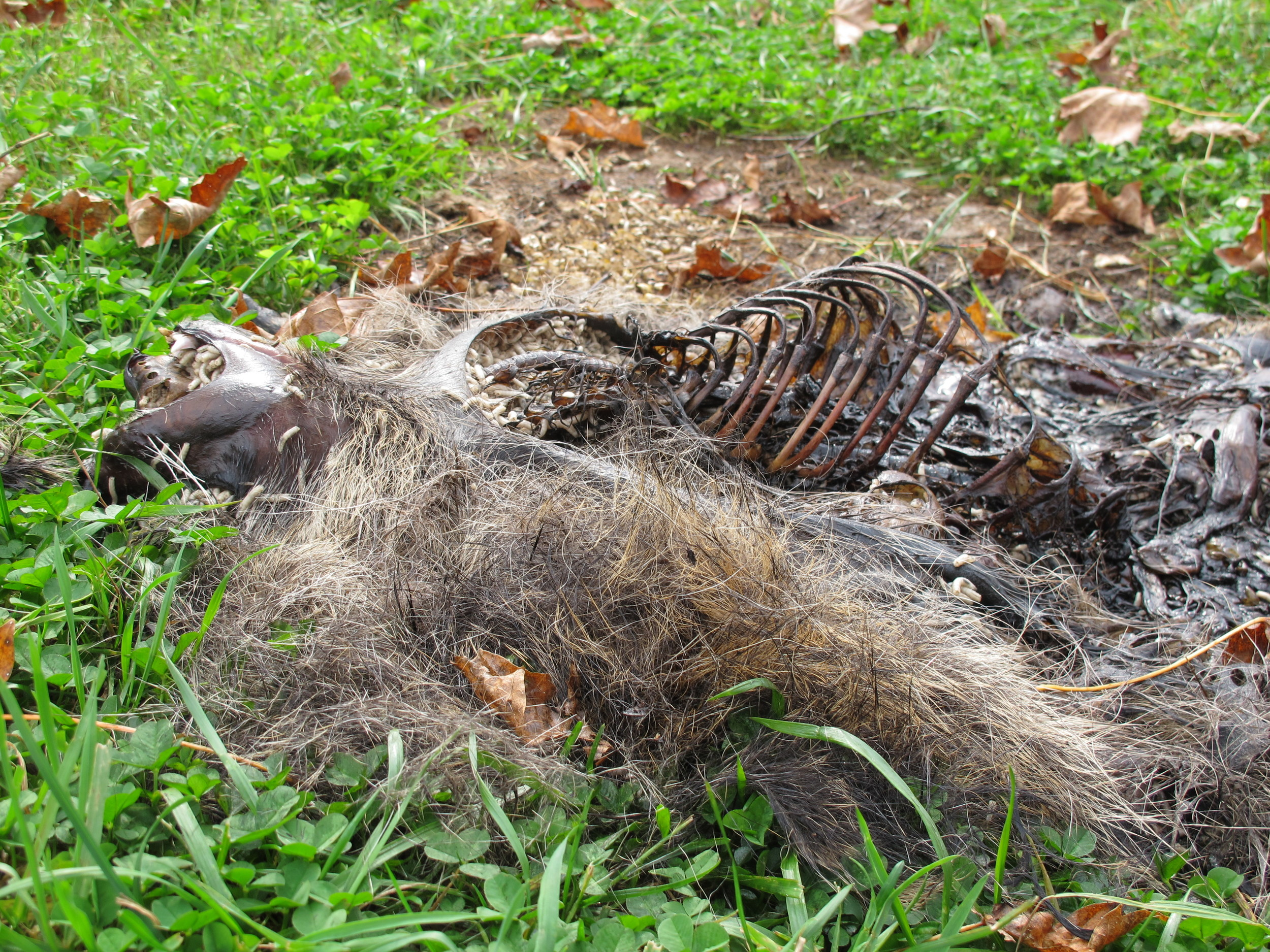 As I said, not a pretty sight, but a natural one. Bernd's observation of what happens to carcasses like this raccoon's help us all understand the workings of nature in greater detail.