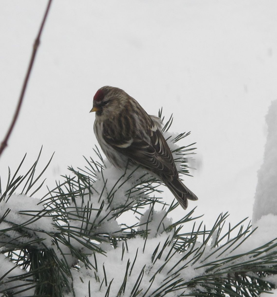 A flock of common redpolls (a type of finch) showed up for a one-day visit in the middle of a snowstorm over the weekend.