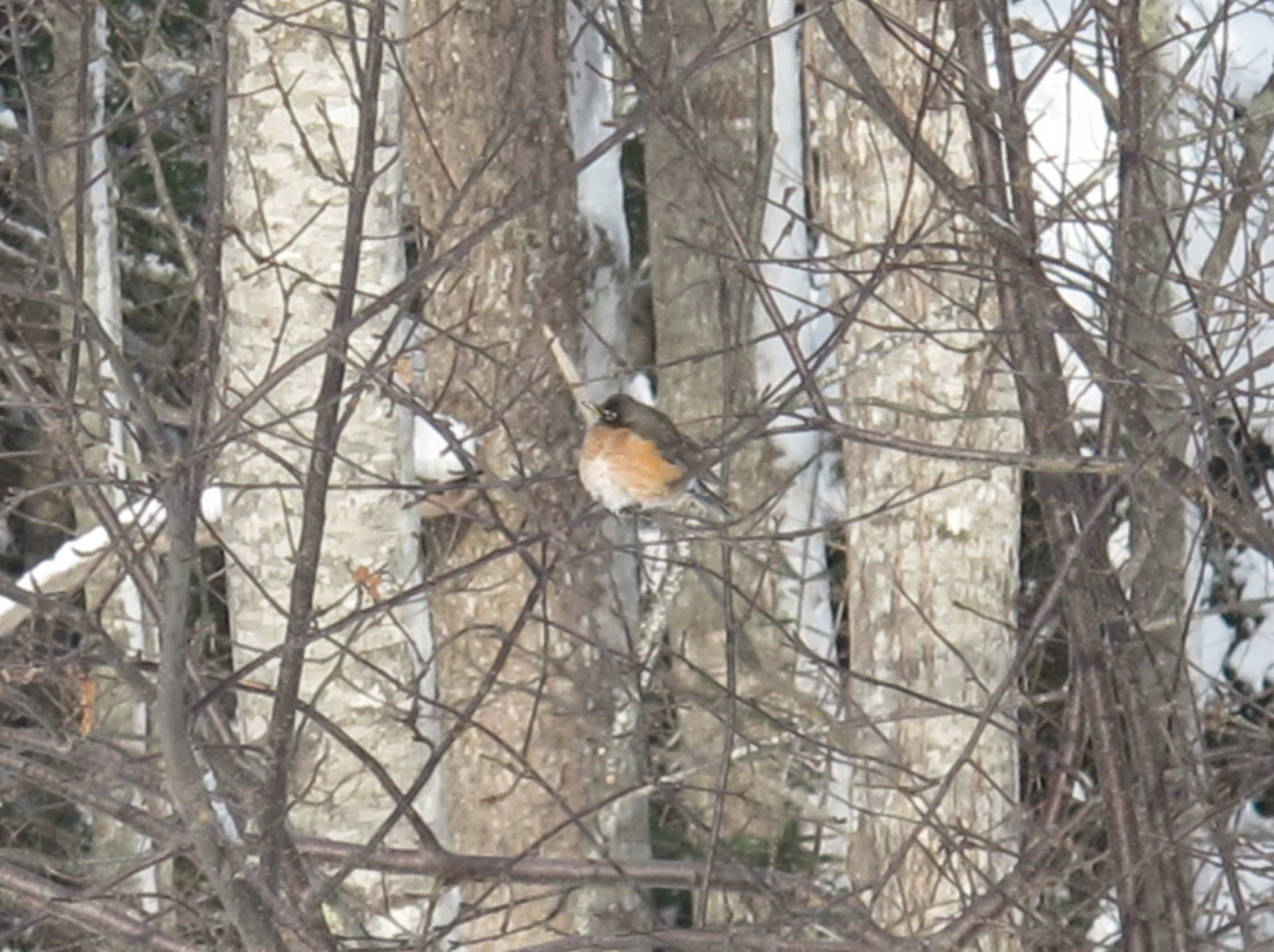 The robin spends part of each day huddled in a small apple tree.