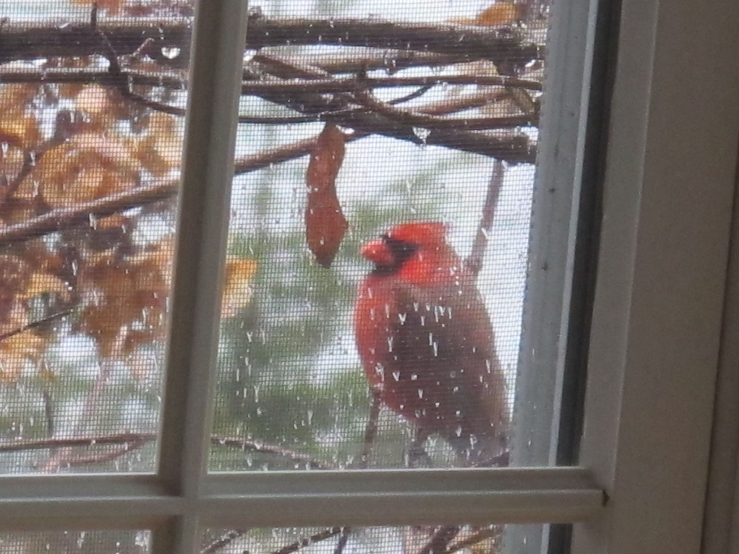 I keep missing the photo. I try to shoot this male cardinal and his mate camouflaged in the reddish branches of one of our leafless rugosa rose hedges. So instead I'll just show you how he chose to spend part of a recent rainy day, waiting for a gray squirrel to get off our bird feeder.