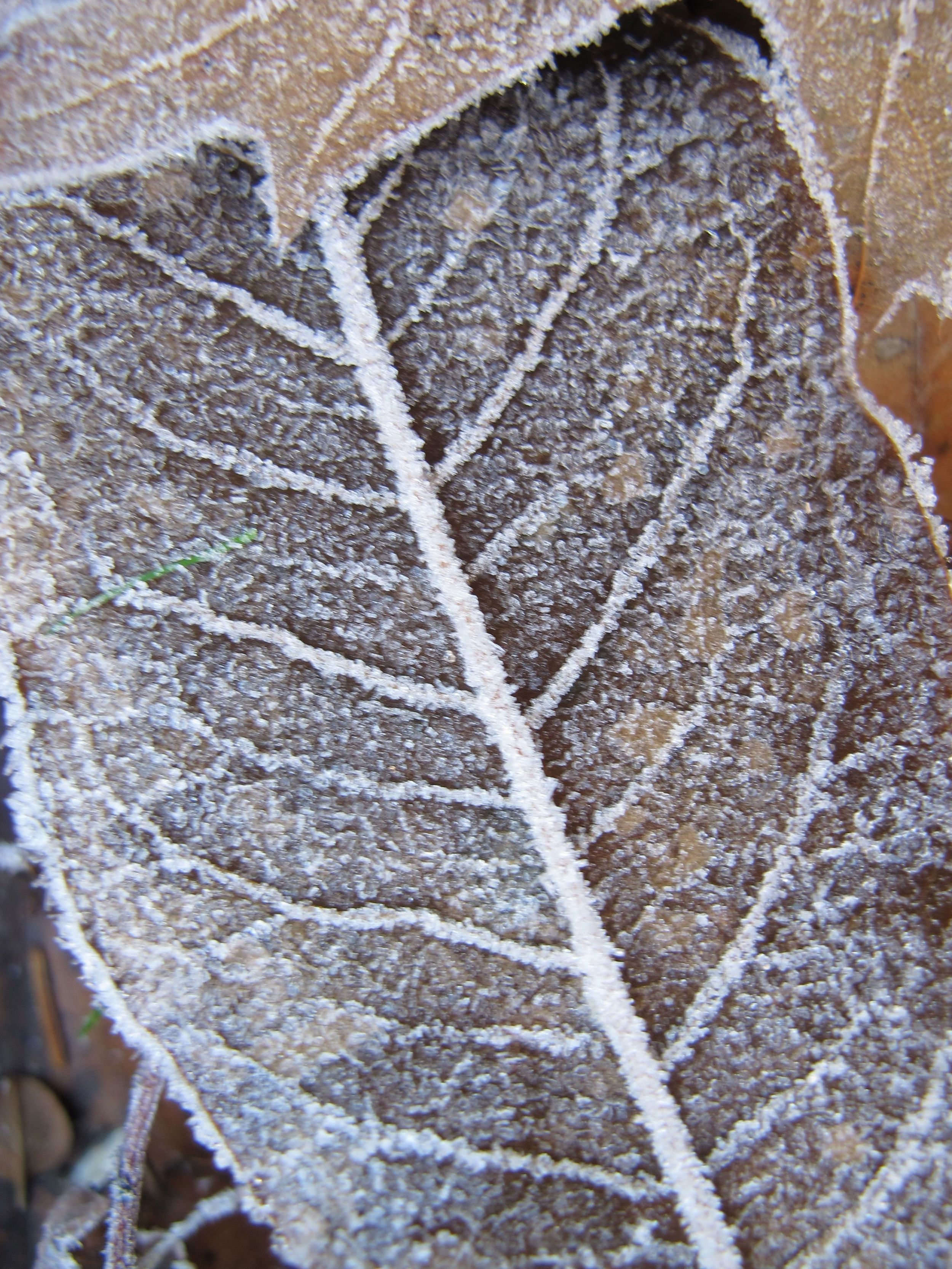 Here the frost illuminates the vein structure.