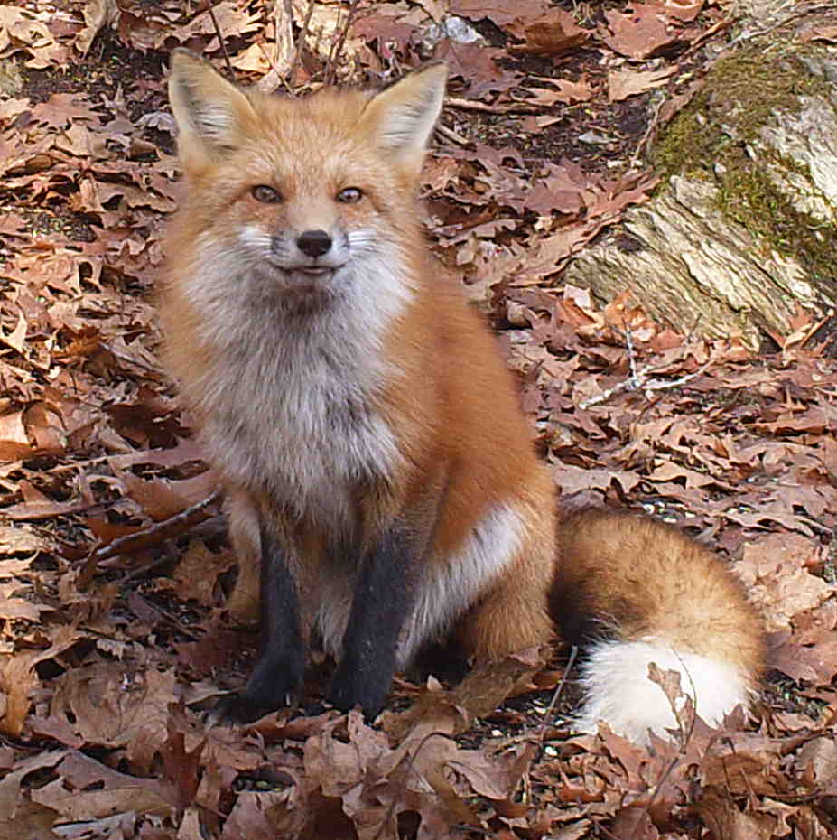Given how he (or she) stared into the camera, we wondered if the fox could see the infrared motion-detection beam aimed at him.