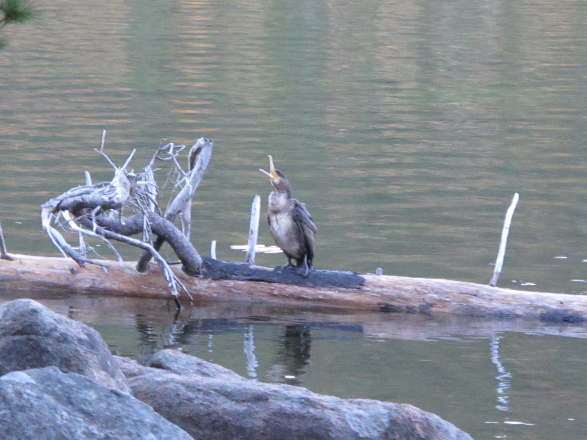 Back in Maine: A young cormorant at dusk on Saturday on Jordan Pond.