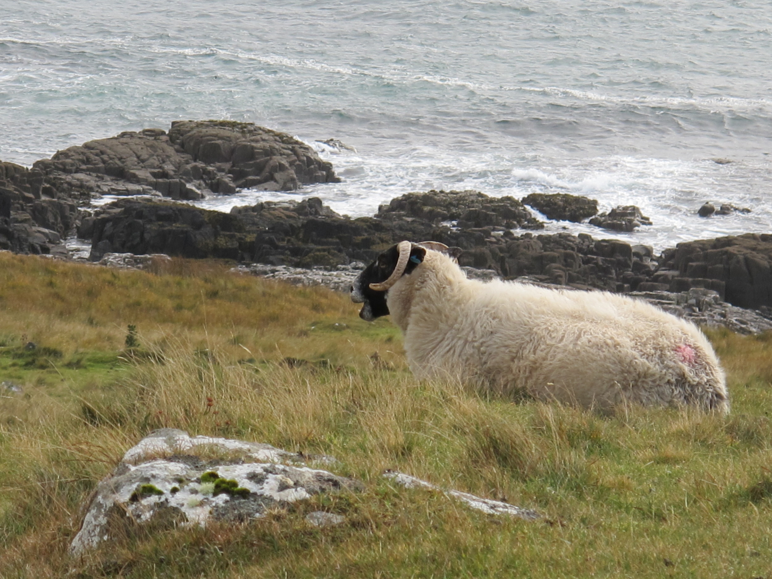 When walking through fields and along the coast, we often had company. Thousands of Highlanders were kicked off their land in the 1700s to make room for sheep. Many of them—the Highlanders, not sheep—were forced to immigrate to Canada, especially Nova Scotia, which still has a significant Gaelic-speaking population.