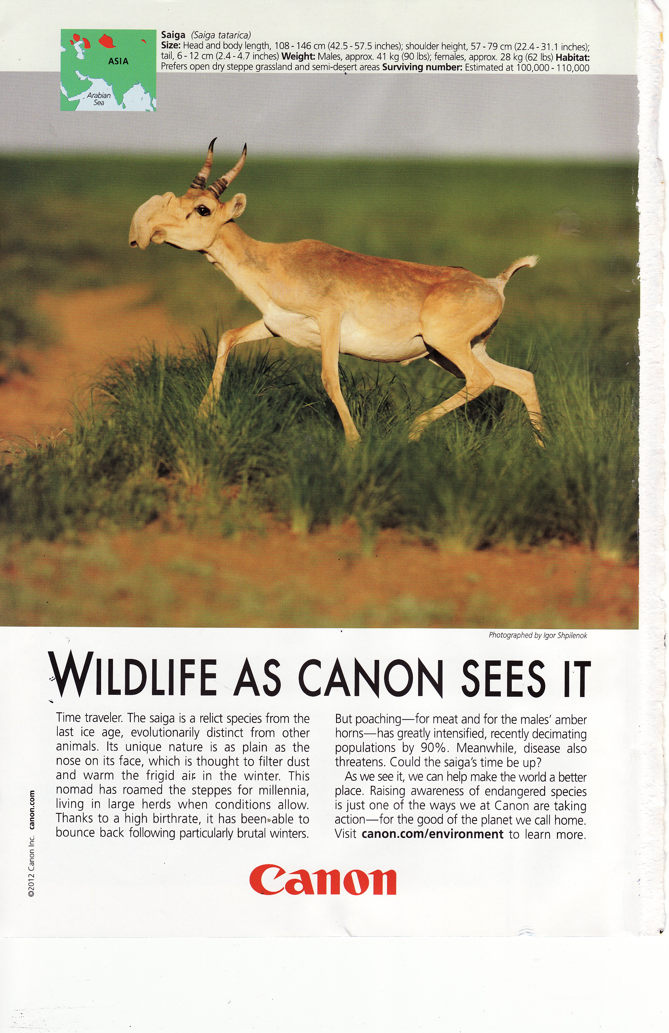 Don't know if you saw this Canon camera ad about the endangered saiga. It ran in National Geographic and deserves highlighting because it's both beautiful and substantive. Don't you love the snout of the saiga? I think Eli's nose is feeling like a saiga schnoz today because of early fall allergies.