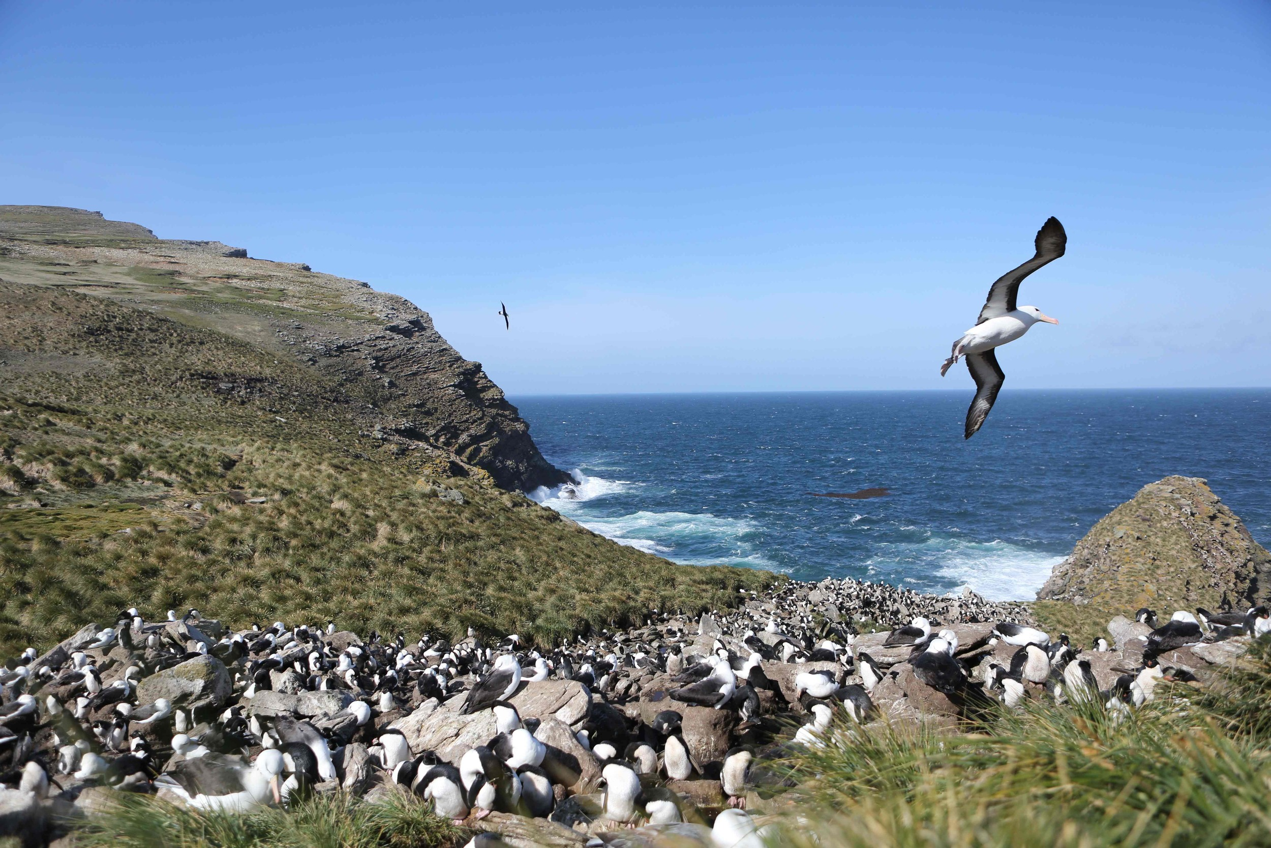 Black-browed albatrosses and rockhopper penguins shared a nesting ground on West Point Island, our first destination in the Falklands. (Scroll down for earlier posts on how we ended up on this Antarctic expedition and what we had already seen.)