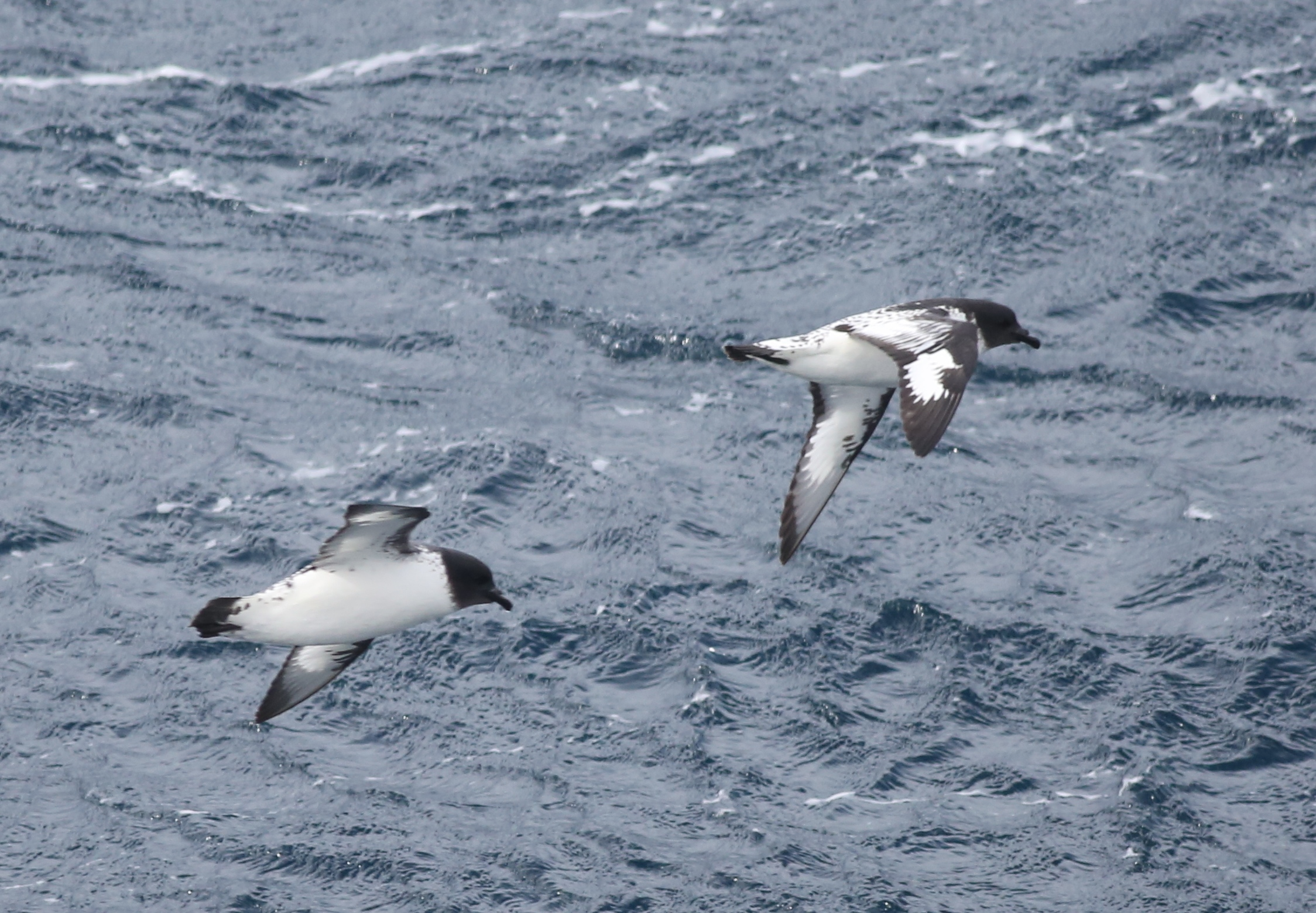 "The distinctive black-and-white wings of cape petrels, one of the Southern Ocean's most common and beautiful birds, had already become a regular sight out our cabin window. All the way to Antarctica we would watch the petrels (which are sometimes called pintado, meaning ""painted"") gliding effortlessly just inches above the waves, often in groups. After fledging, amazingly enough, they remain at sea for about six  years  before returning to land. At age seven they start spending four months per year on land to nest and lay one egg. They do that for the remaining 10 or 15 years of their life."