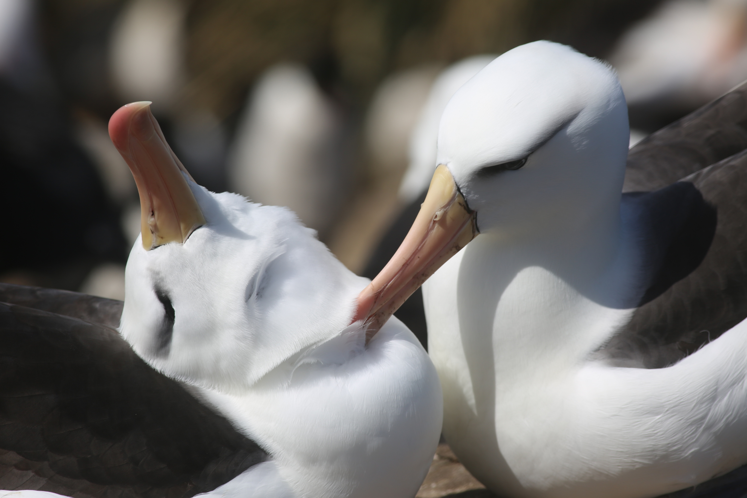 Some albatrosses groomed each other...