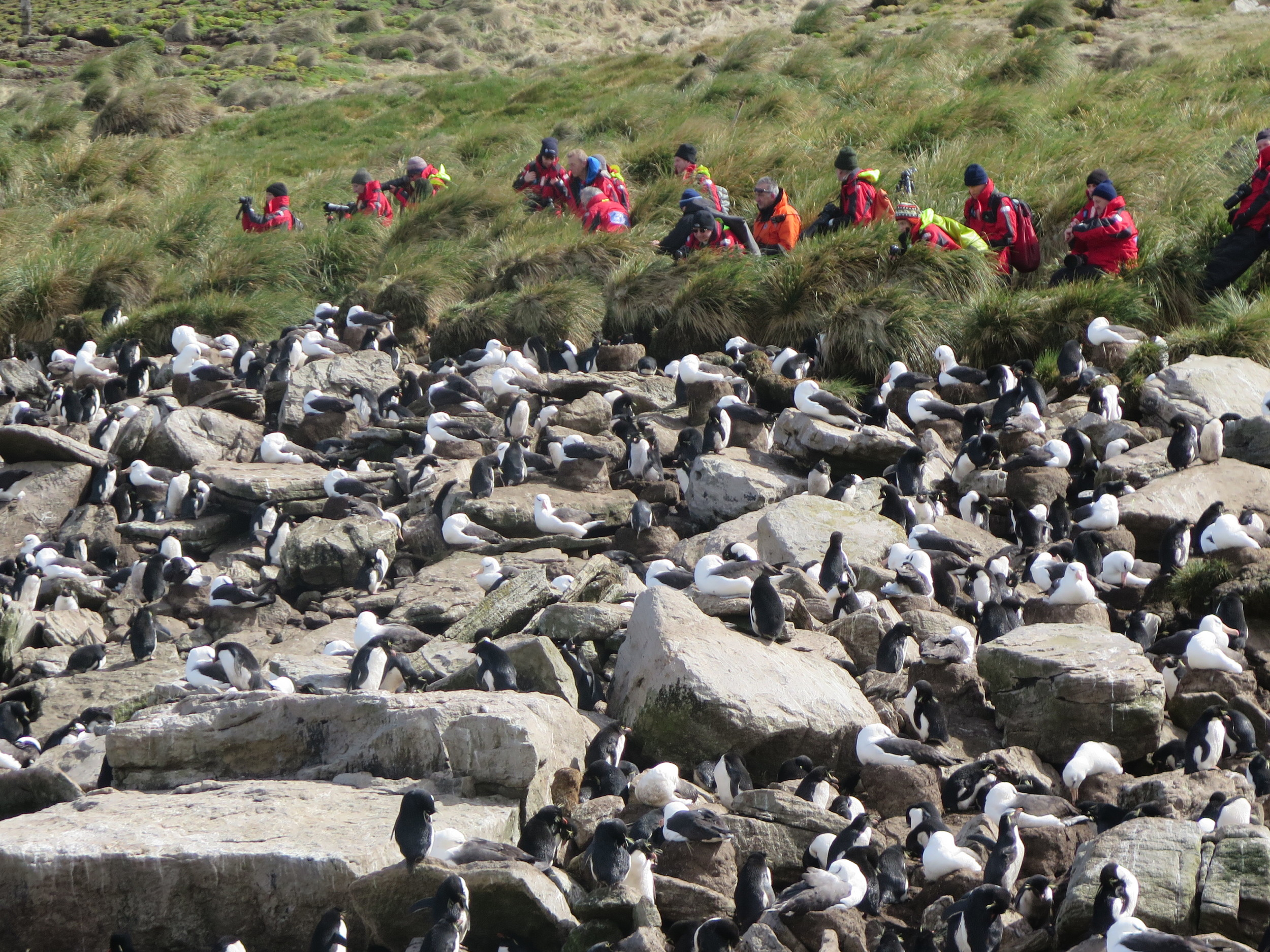Our group maintained its own perch, in awe of what we were seeing and careful not to disturb either the penguins or the albatrosses.