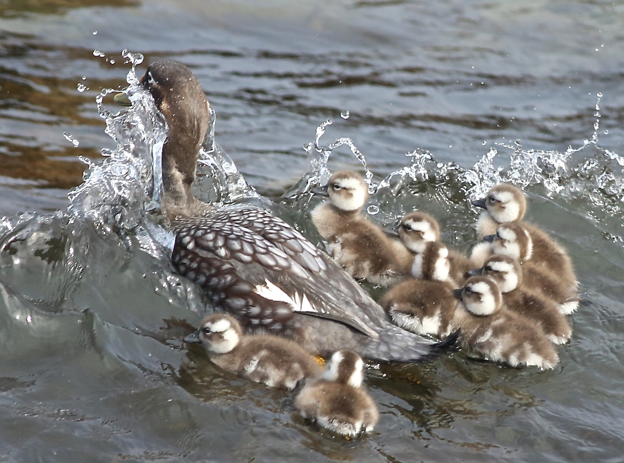 A Falkland flightless steamer duck took her chicks out for a swim in waves that knocked them about but didn't stop them from huddling near her.