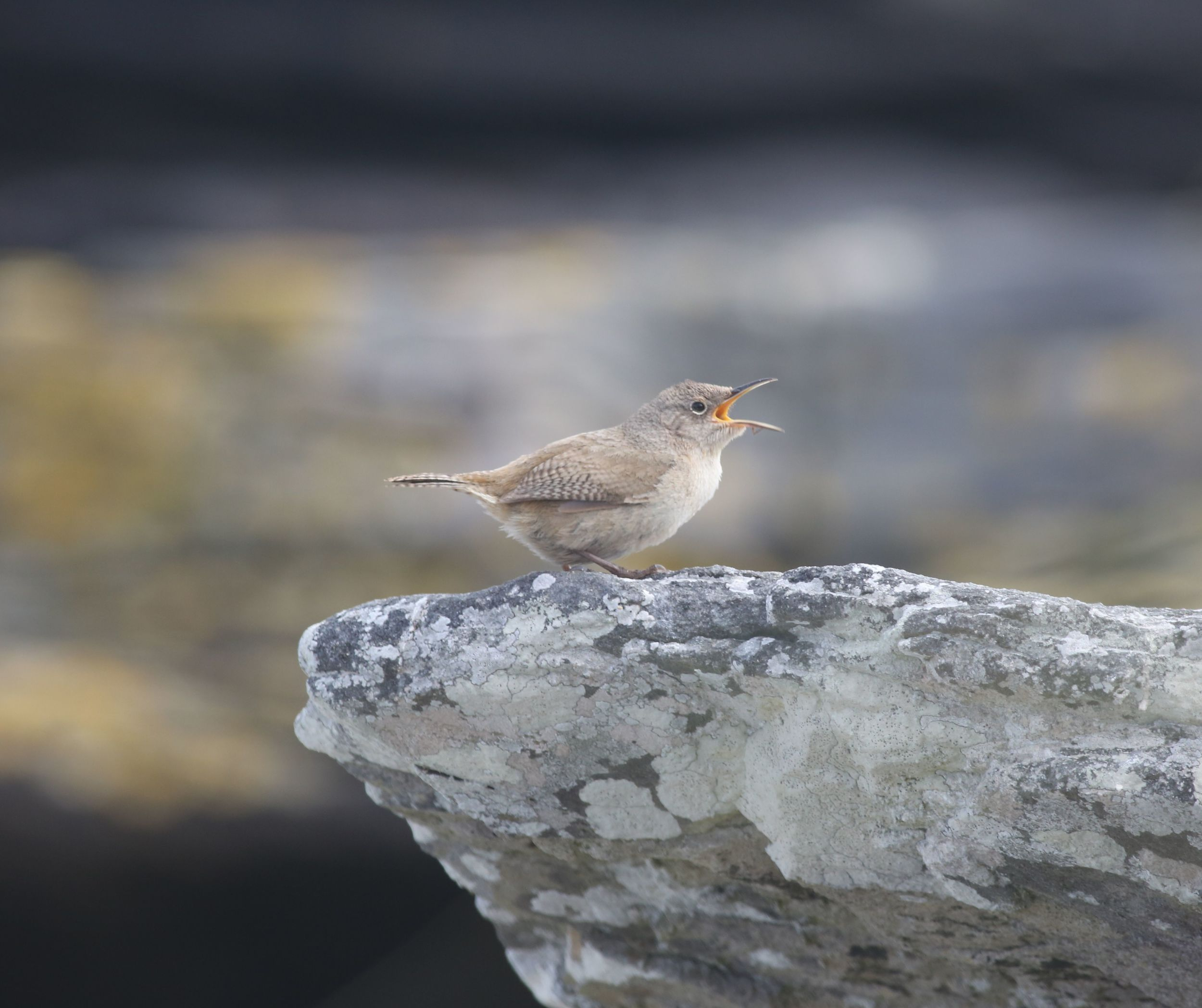 Filled with personality, the endearing Cobb's wren serenaded us when not zipping around hunting for insects and small crustaceans in the tidal zone.