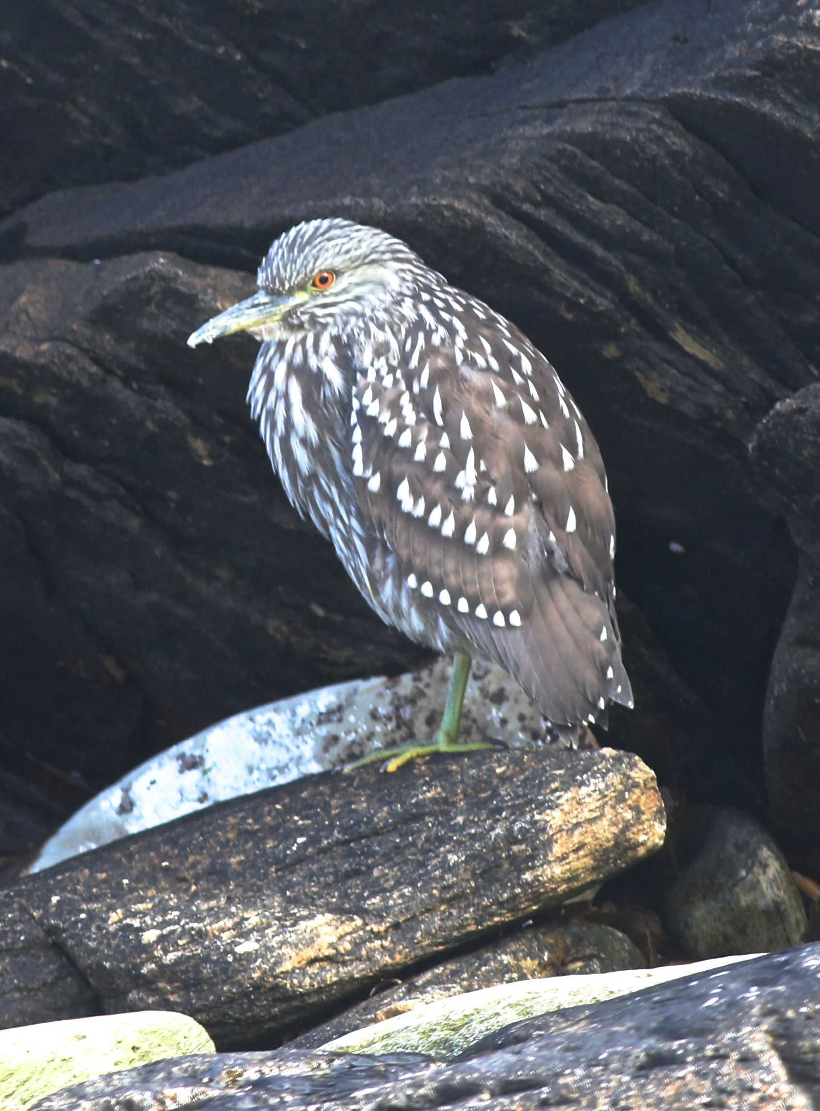 A juvenile black-crowned night heron stayed in the shadows of a low-tide rock...