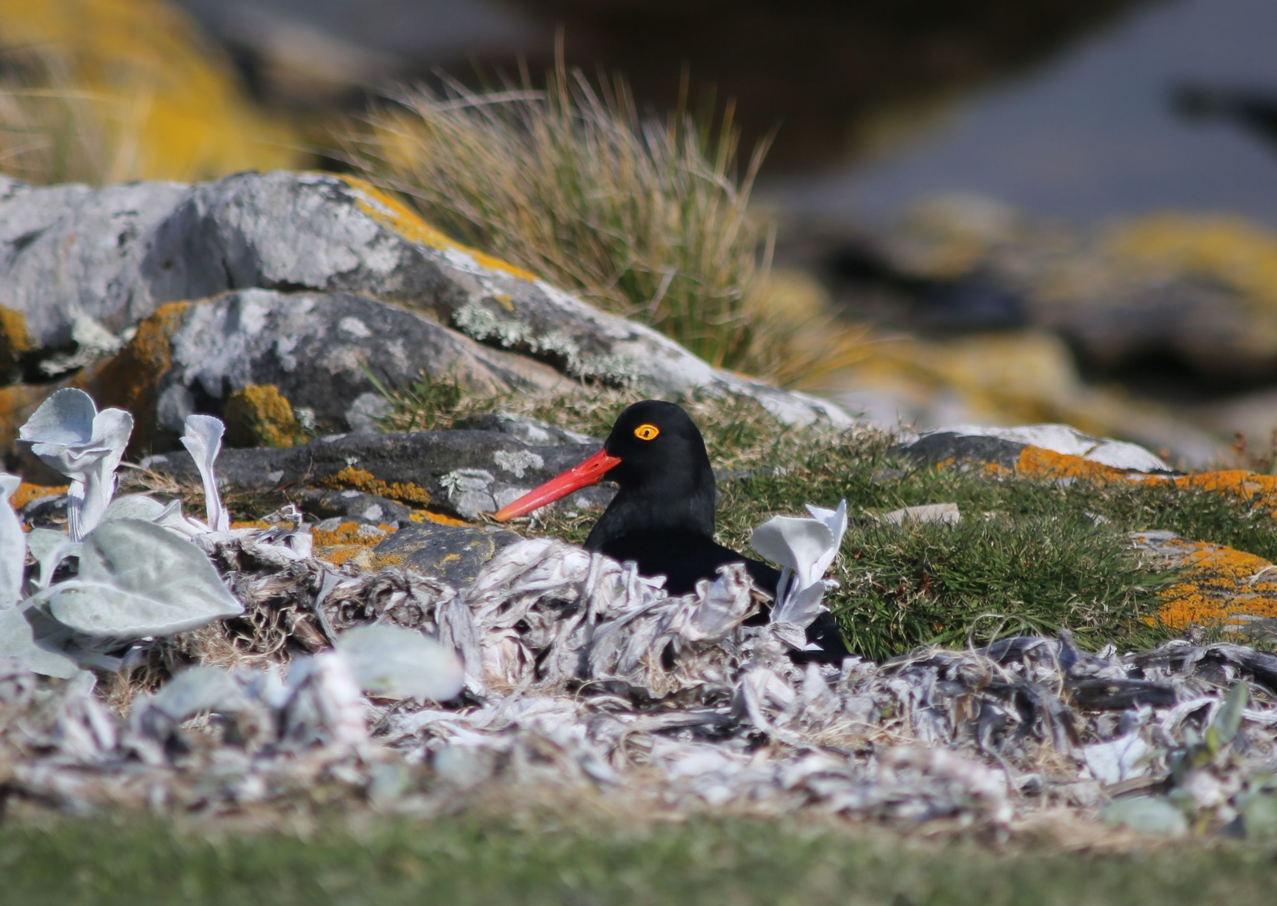 One Magellanic oystercatcher perched on her nest in front of us—unless it was a fake nest. Magellanic oystercatchers sometimes try to draw attention from their actual nest by sitting elsewhere and pretending that  that's  their nest. (I think this nest was the real deal.)