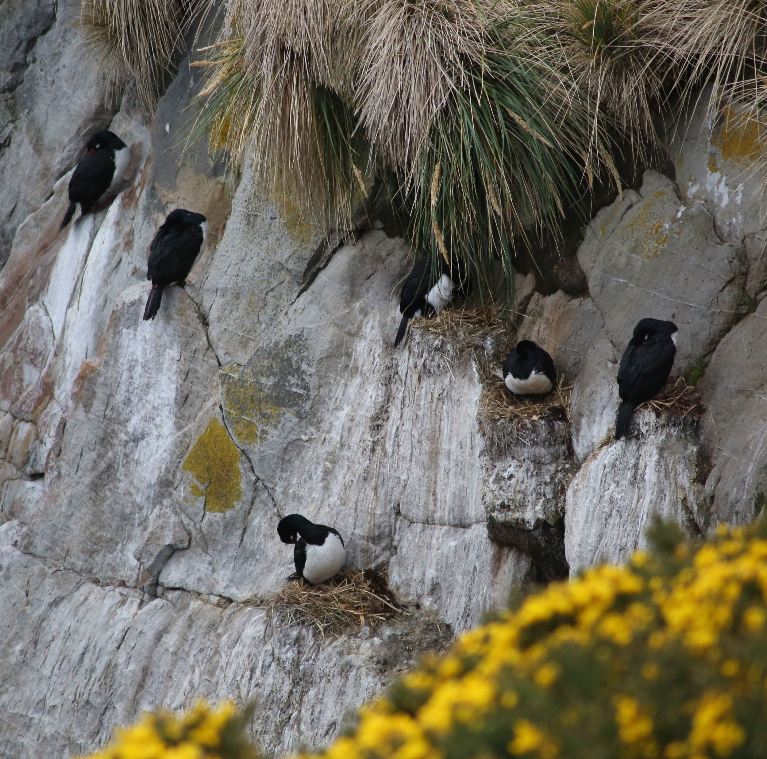 Rock shags on their nests.