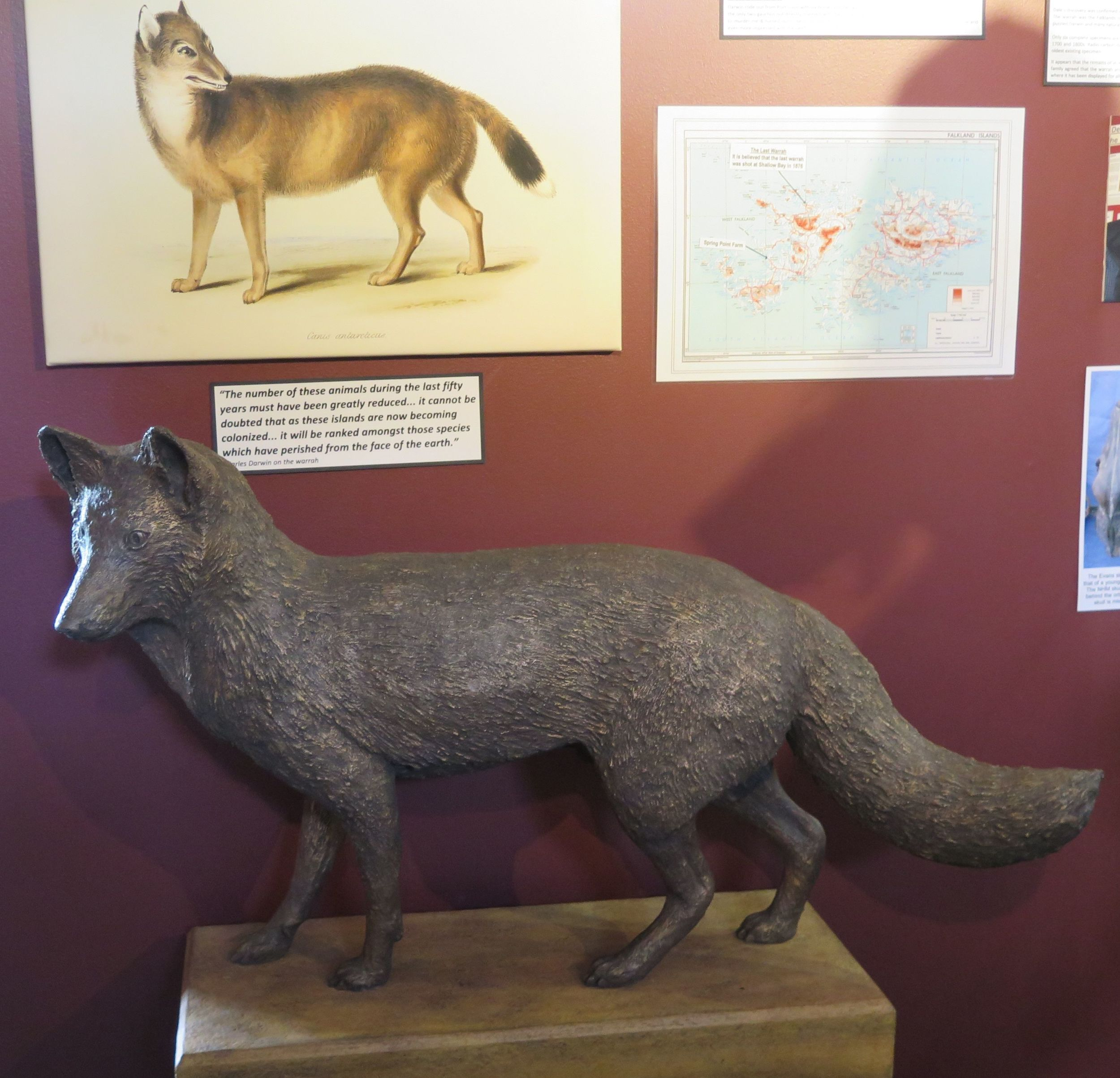 "The only land mammal native to the Falklands was a type of canid called a warrah (also known as a Falkland Islands wolf, Falkland Islands dog or Falkland Islands fox). Warrahs were extensively hunted for their fur and poisoned by Falklands farmers who feared that the canids would kill their sheep. The last one died in 1876, giving warrahs the unfortunate distinction of being the first known canid species to go extinct in historical (as opposed to prehistoric) times. During his visit to the Falklands in the 1830s, Charles Darwin wrote prophetically, ""It will be ranked among those species which have perished from the face of the Earth."" All that's left now is this statue in the Stanley museum."