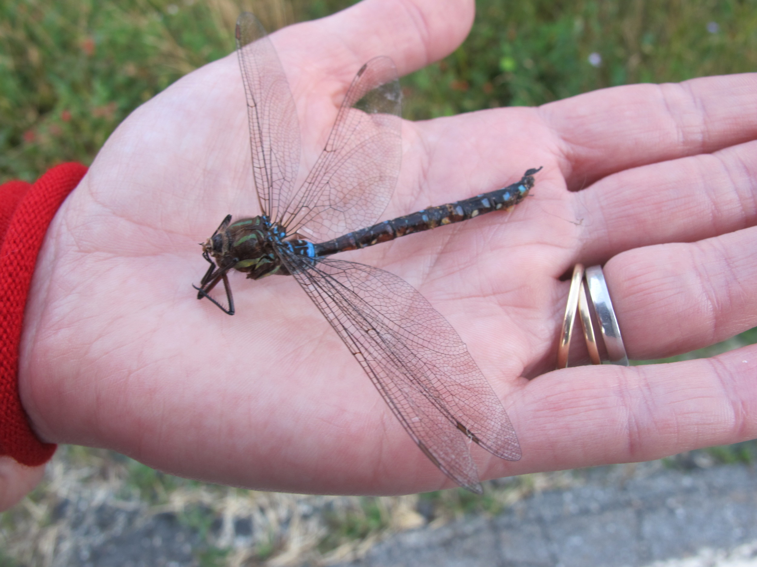 We found this beautiful dragonfly on the road. Don't know what happened to it, but it had expired. Scientists have long studied dragonfly wings for insights into building strong, lightweight, aerodynamic structures.
