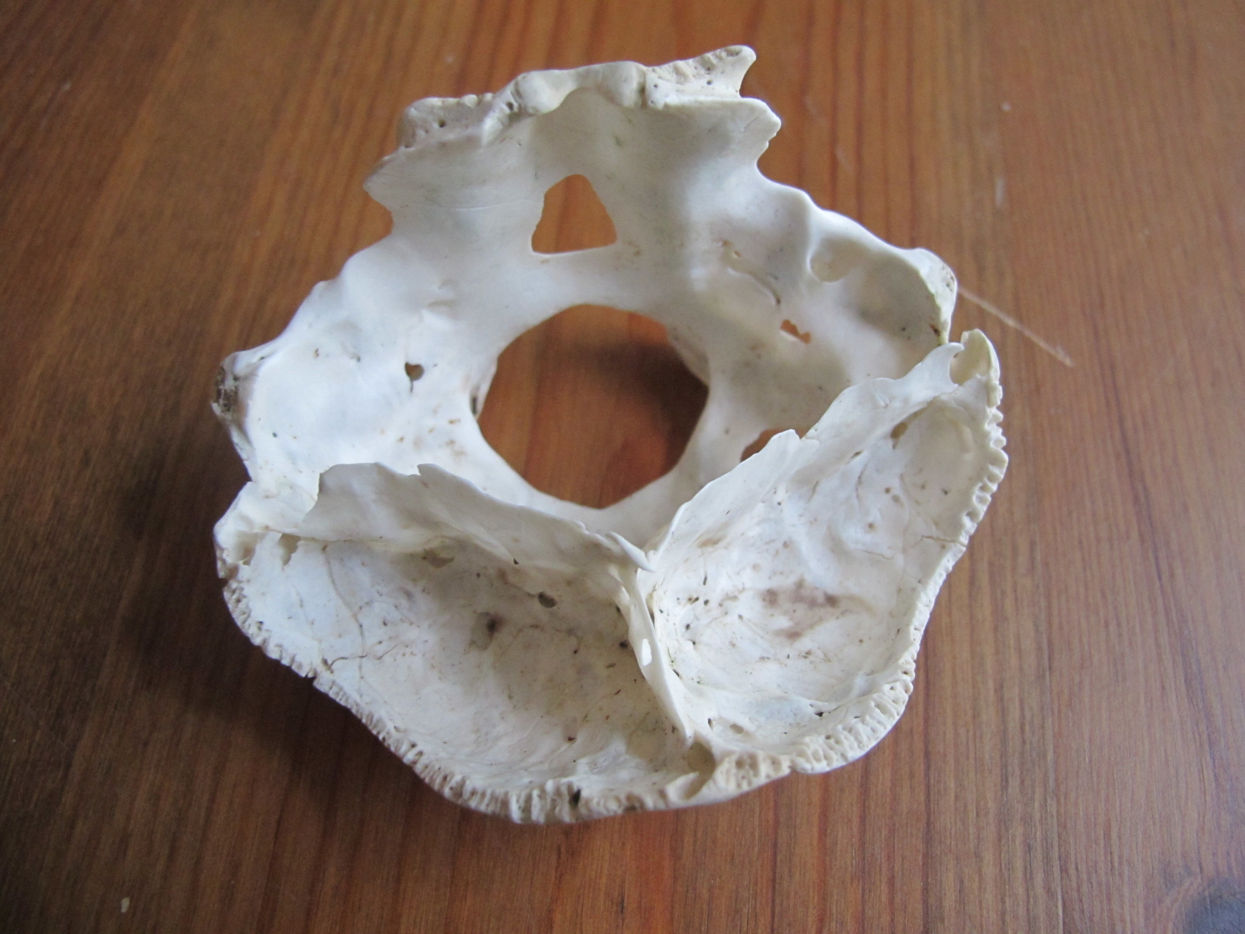 Here's a bottom view of the same bone. Or maybe this is the top view.