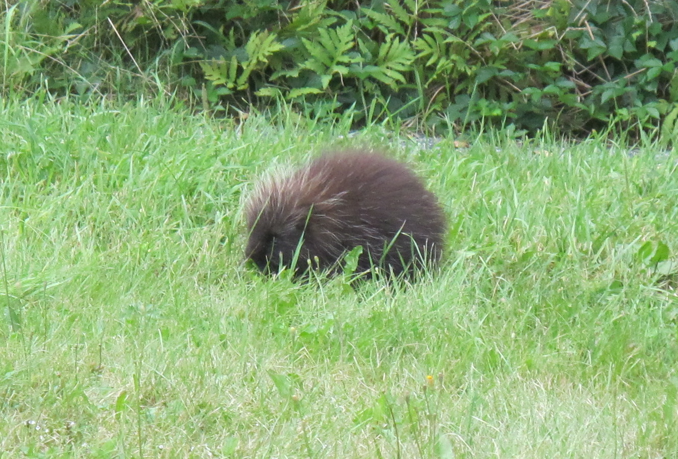 This porcupine was hanging around outside the SERC auditorium.