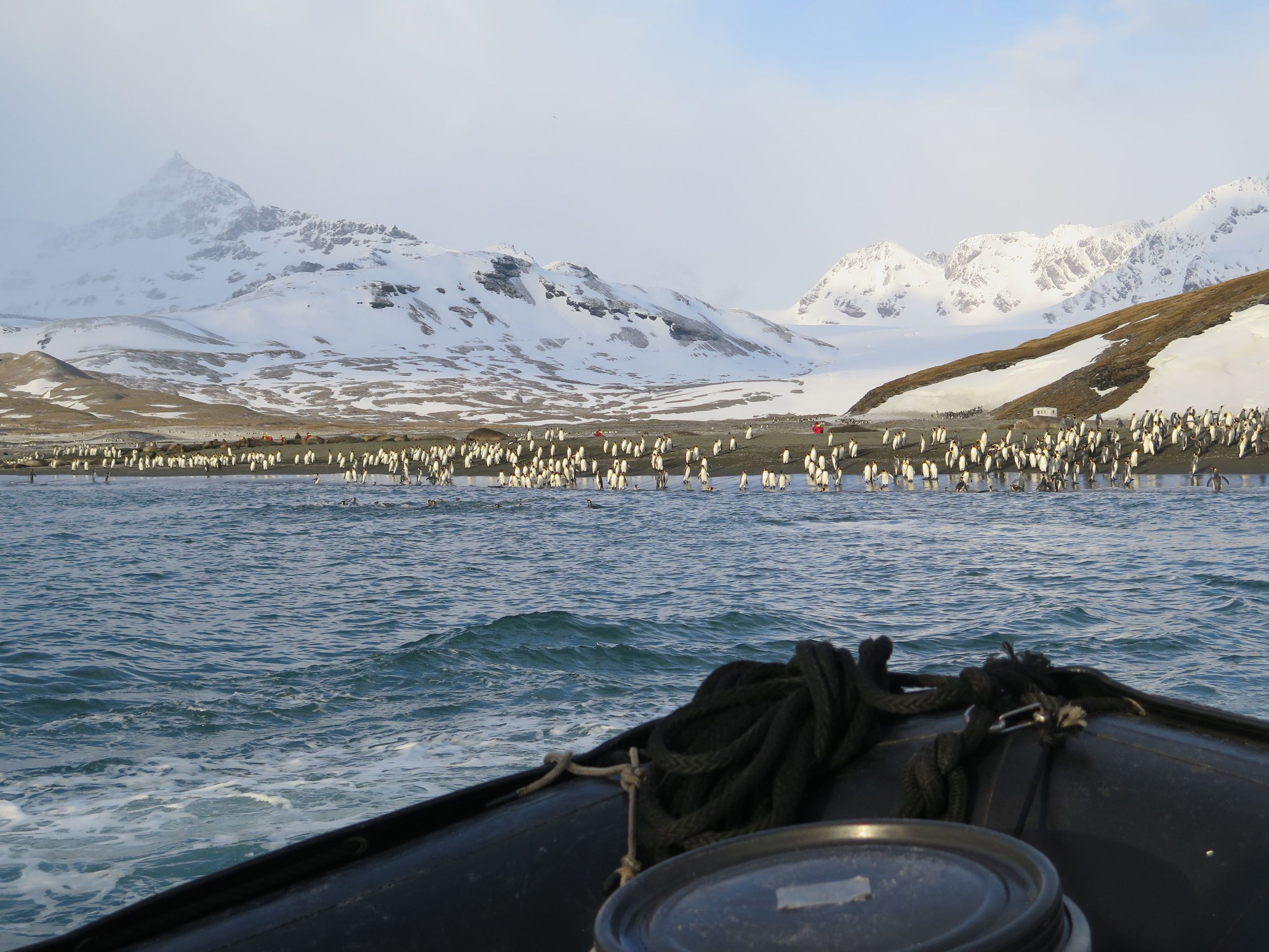 Hundreds of the king penguins seemed eager to welcome us at the landing site.