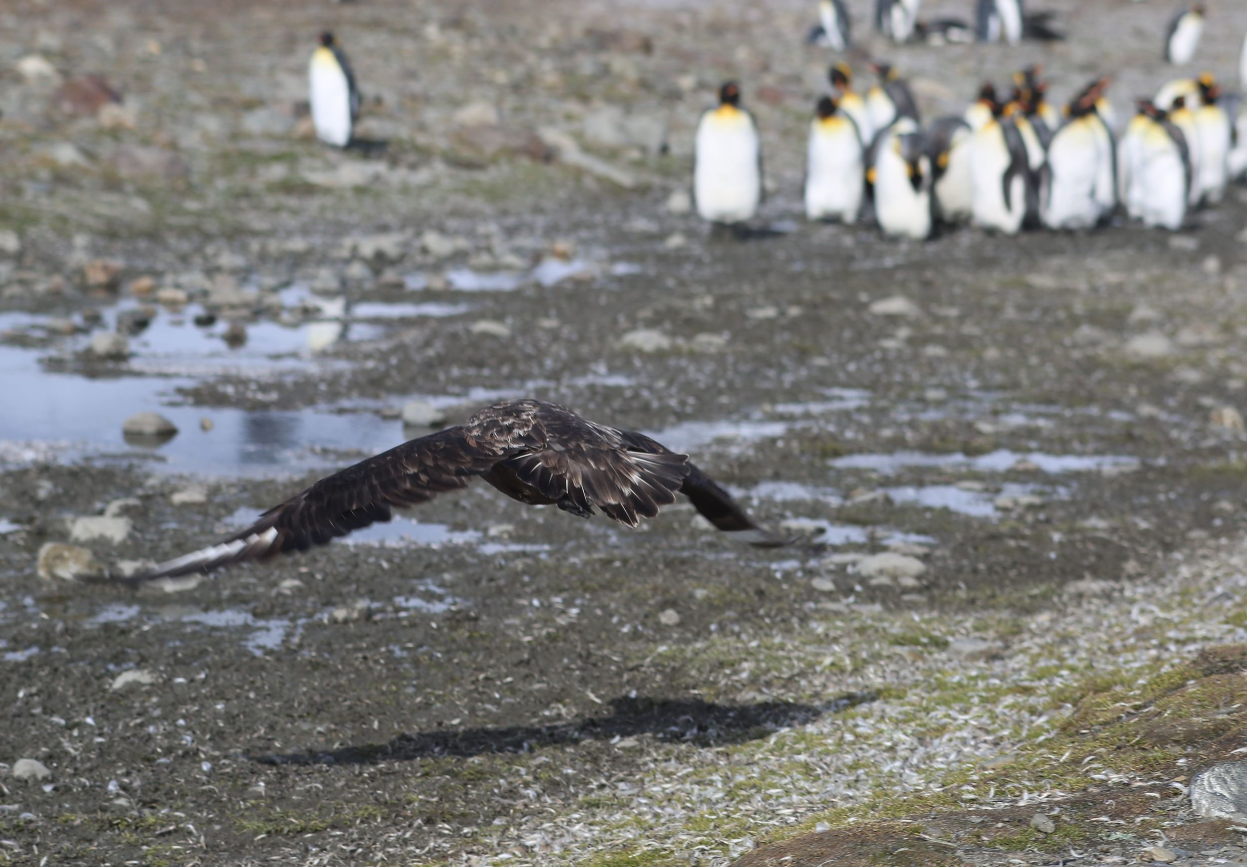 The skuas were a constant reminder of the threat to penguin chicks.