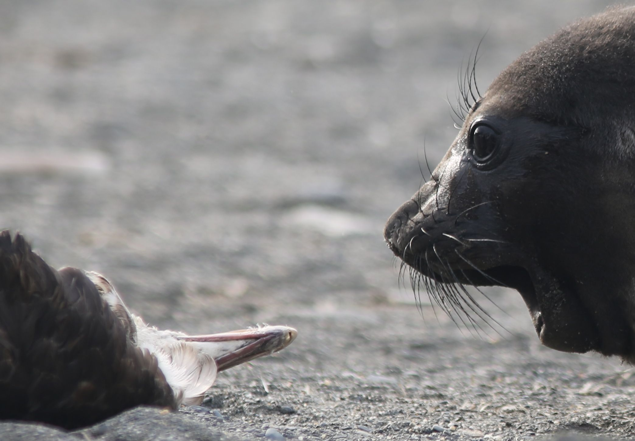 This curious elephant seal pup stared, sniffed and grunted at a dead giant petrel for several minutes..