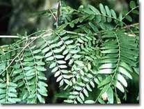 Honey locust leaves.
