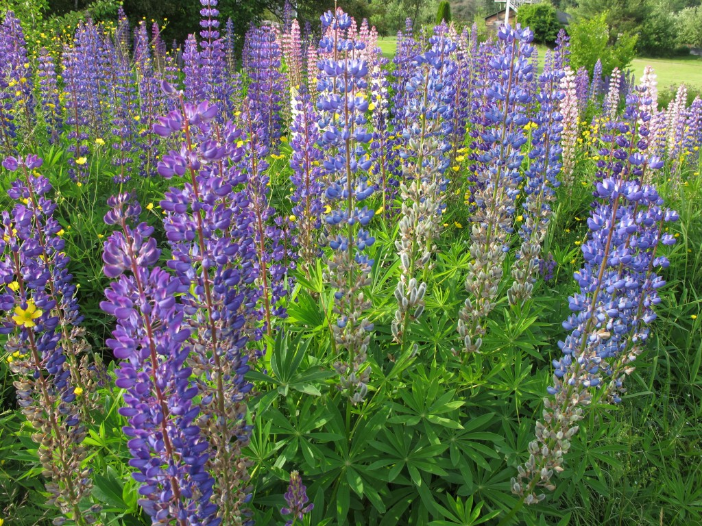 As I said, lupines are in profusion around here. The flowers were given the name lupine—from the Latin word for wolf—because they are invasive and, in the words of one source, can ravage the land on which they grow. In a lovely way.