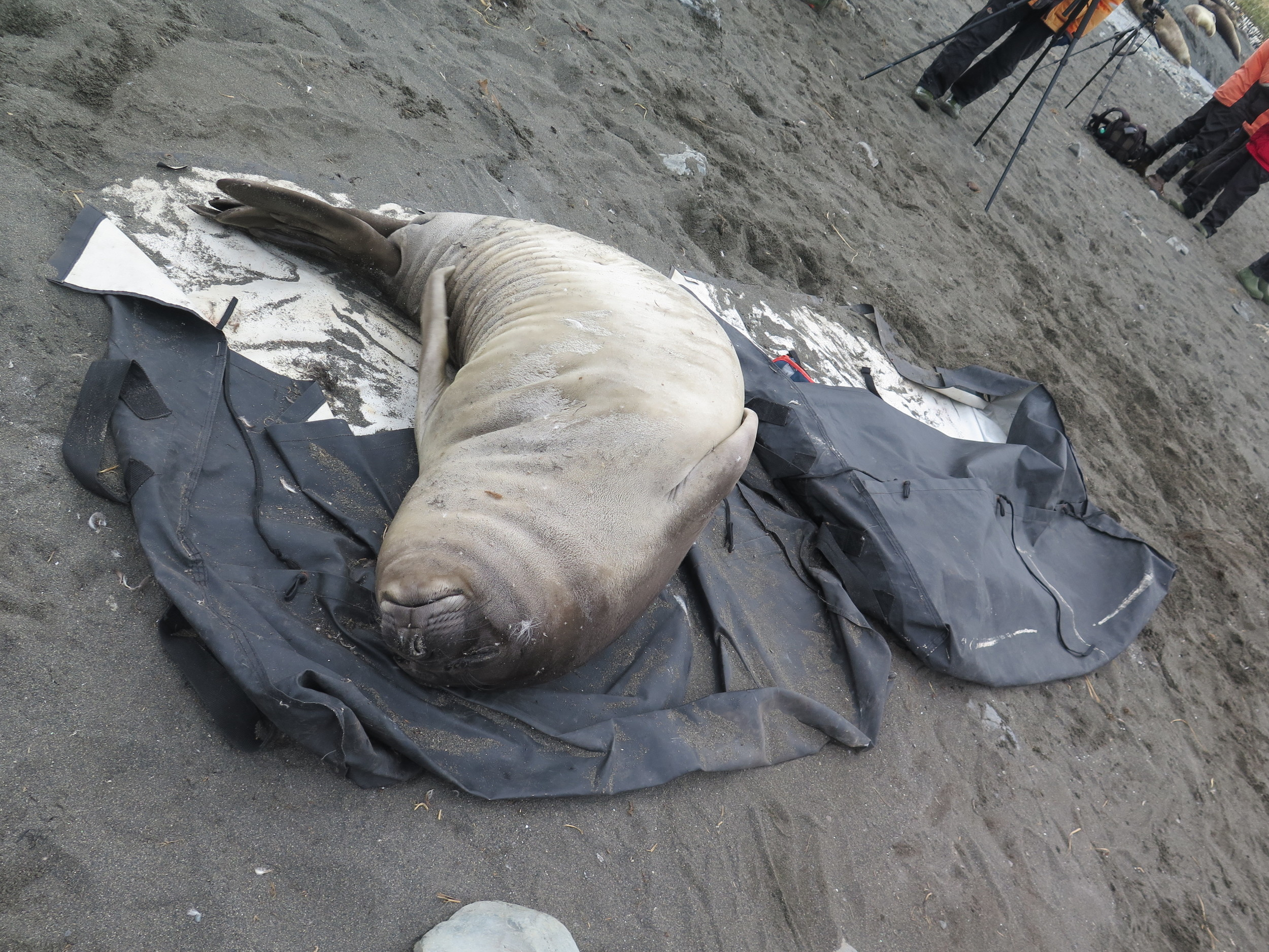 Near the end of the afternoon, a weaner fell asleep on the tarp on which our crew members had carried gear; they resisted the temptation to wrap him up and take him back to the ship.