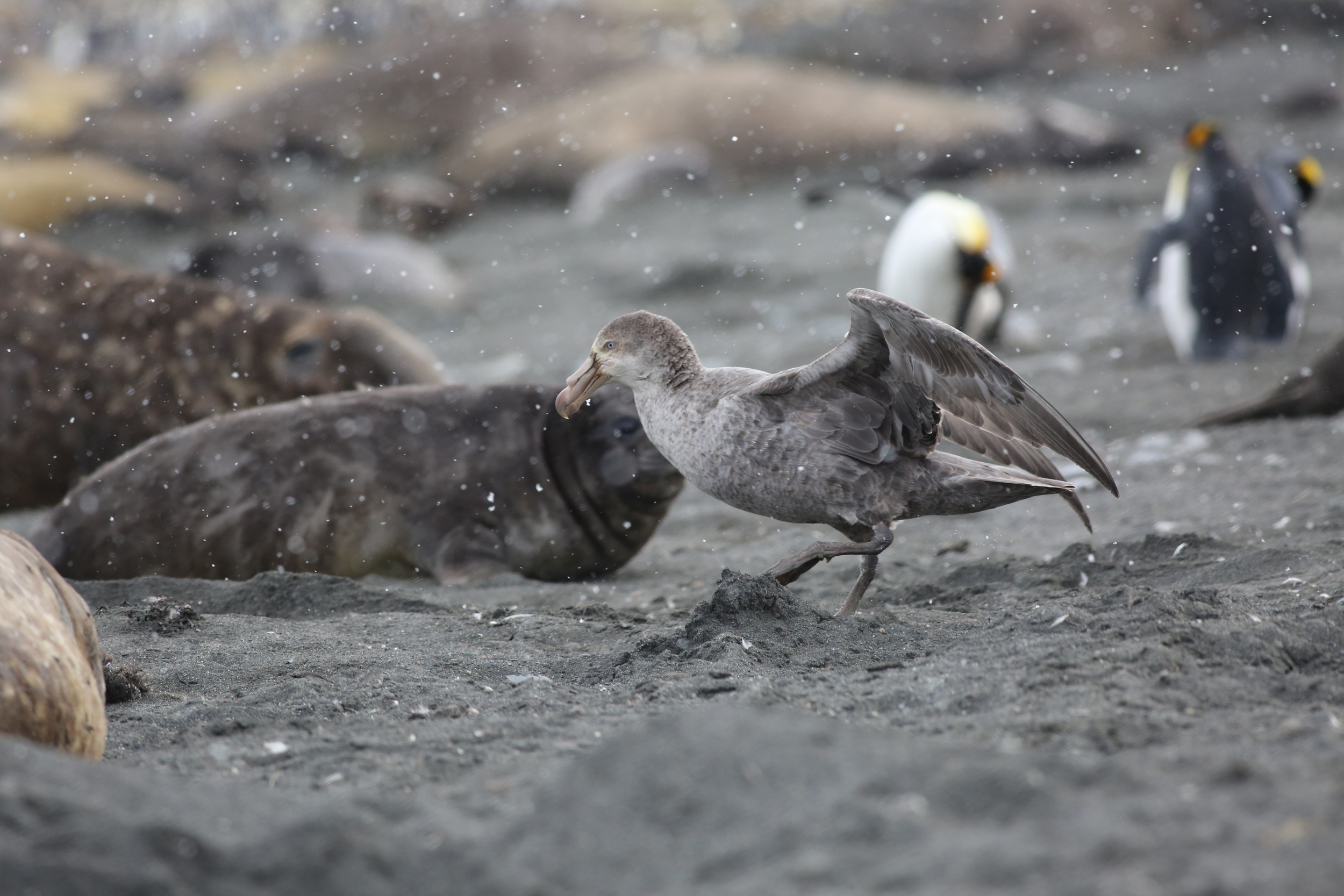 Southern giant petrels also arrived to join the feast.