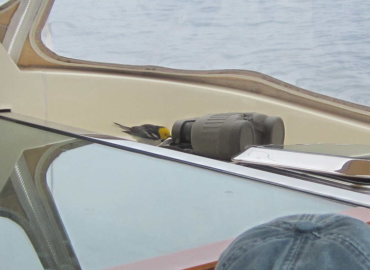 Birds have sharp vision, but this hermit warbler seemed eager to try out the binoculars while hitching a ride recently on a boat off the Southern California coast with Notebook correspondent Kathy Weathers.