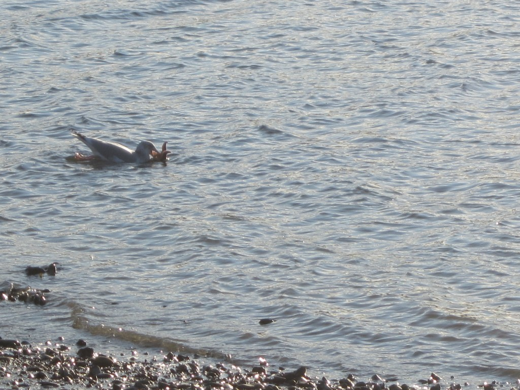 Kathy spotted this gull devouring a sea star near Bar Island off Bar Harbor here in Maine.
