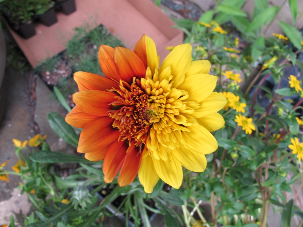 The flowers include a gazania with a two-toned blossom. I'd never heard of a gazania, but it's a member of the aster family and is native to South Africa. It's sometimes called the African daisy.