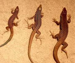 A trio of creeping reptiles called whiptail lizards. Bonus question: Whiptail lizards are the official reptile of which state—Arizona, New Mexico or Utah?